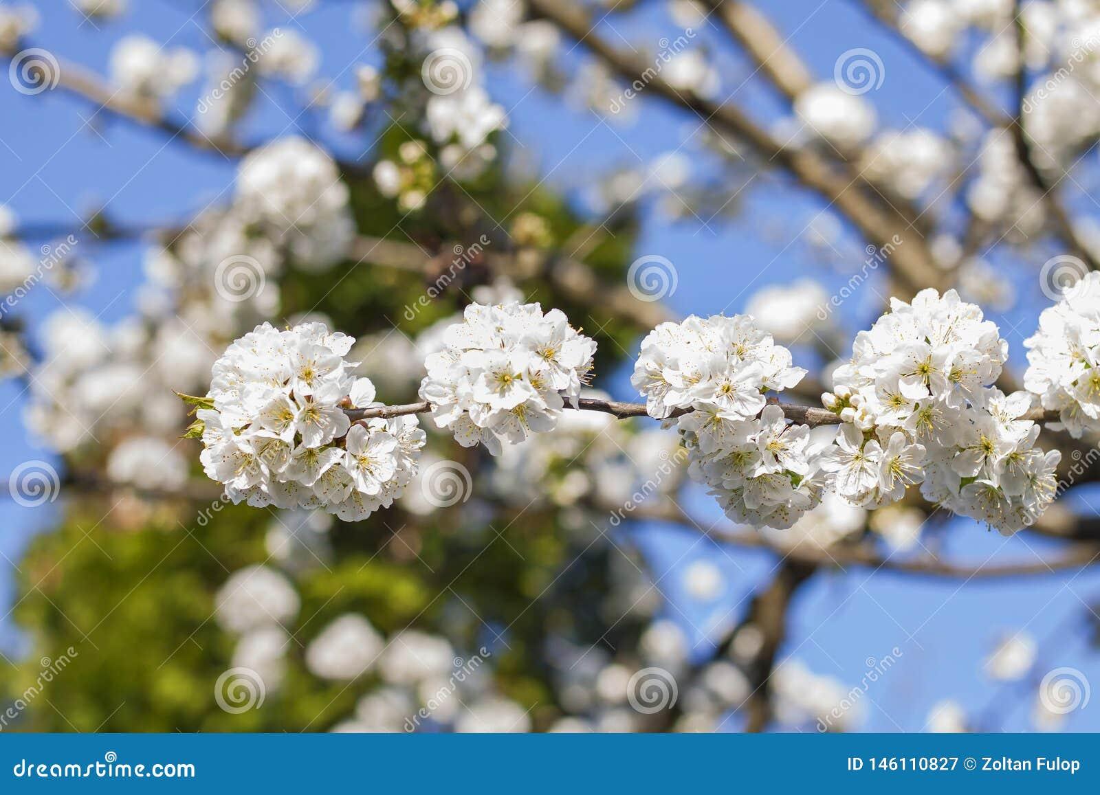 Foto alta vicina di un fiore di fioritura del ciliegio