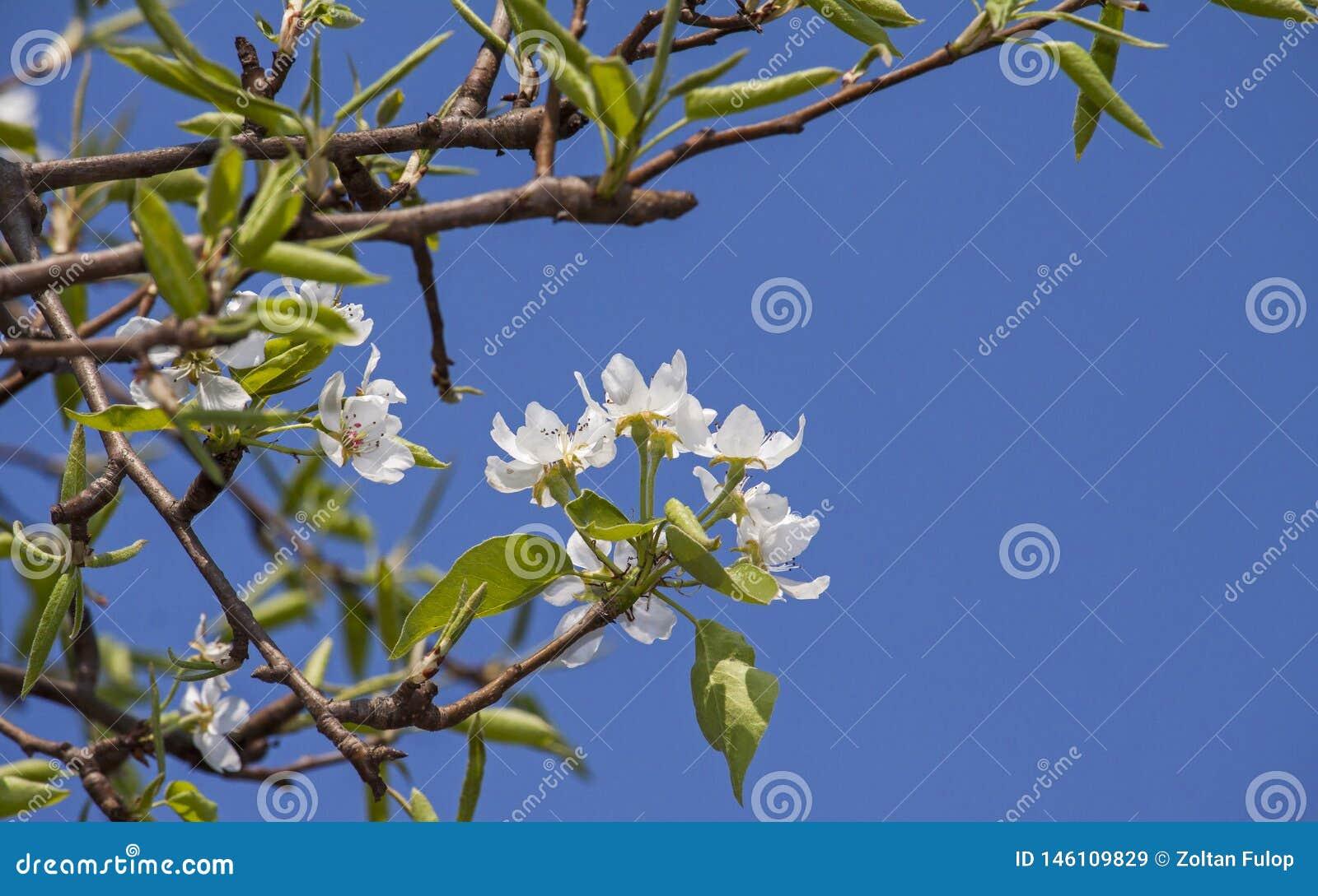 Foto ascendente cercana de una flor floreciente del peral