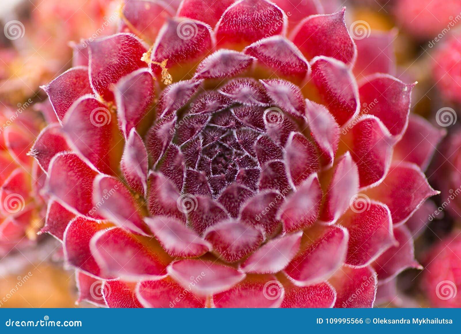 Foto astratta del primo piano del succulente rosso scuro, sopra la vista