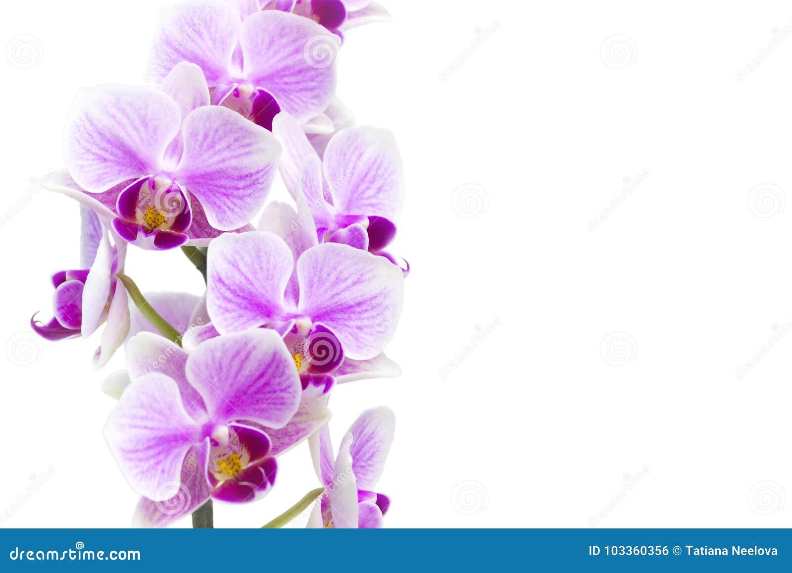 Foto av den mjuka orkidéfilialen som blomstrar med lilablommor som isoleras på vit bakgrund Blommande twi för Phalaenopsisorkidéb