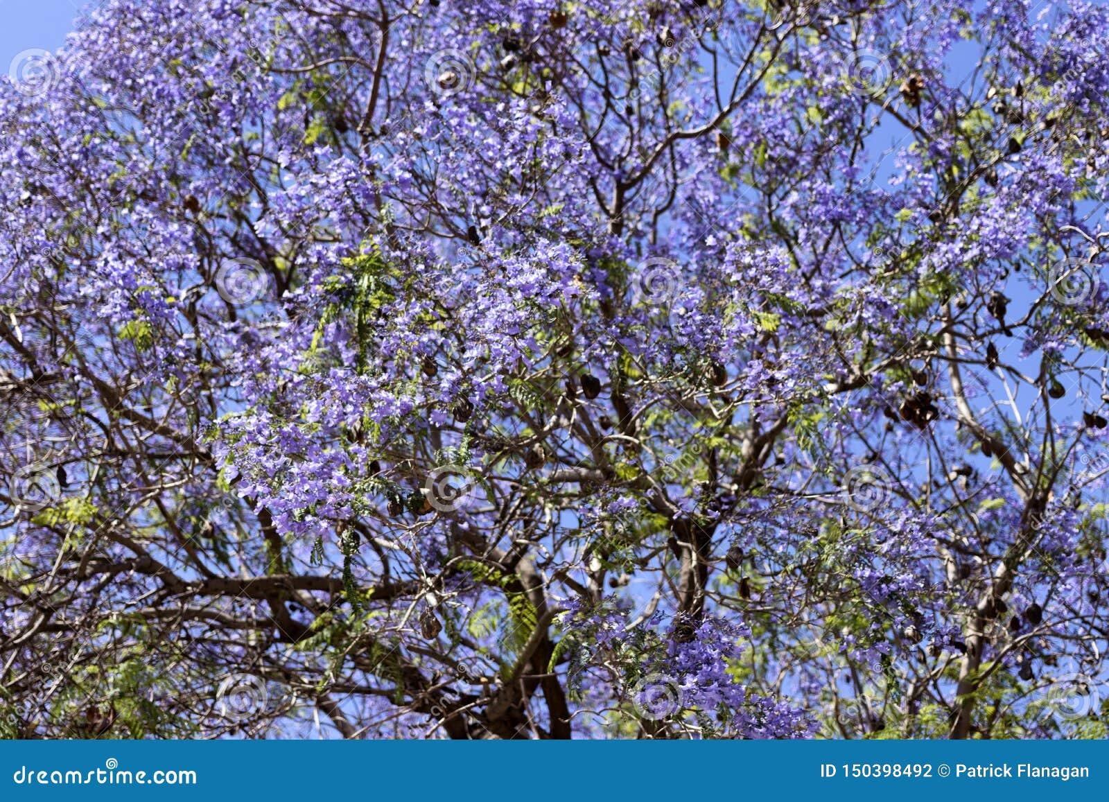 Foto av ett träd med purpurfärgade blommor