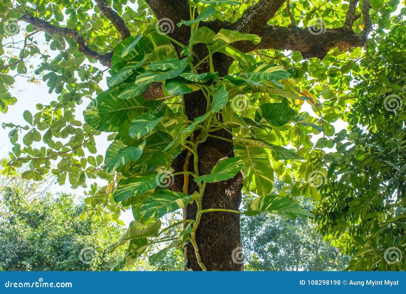 Foto av vinrankor för guld- pothos på trädet