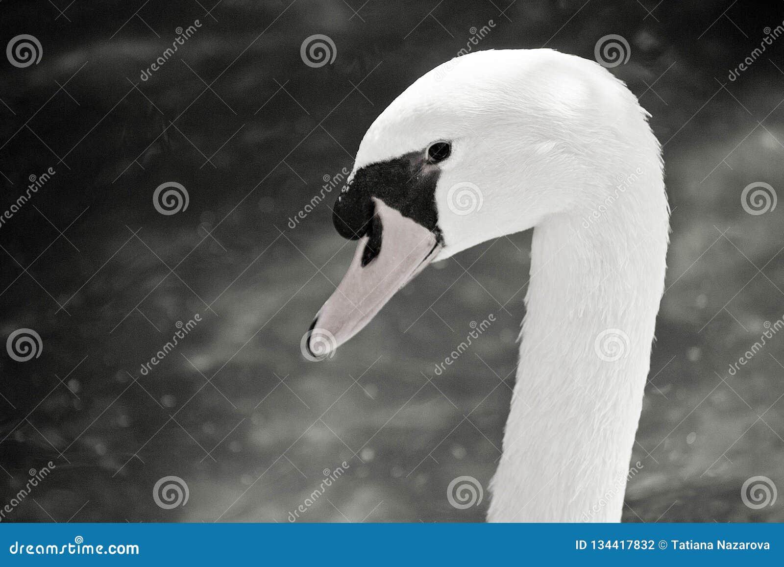 Foto in bianco e nero della testa del cigno