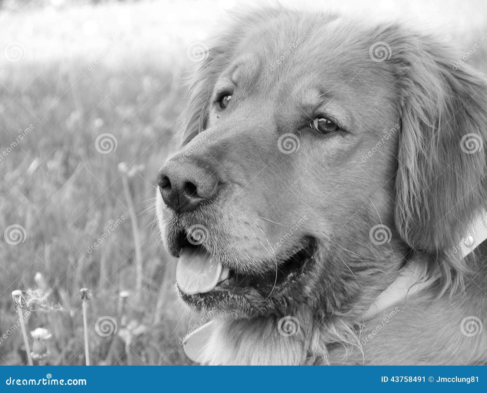 Foto Blanco Y Negro De Un Perro Del Golden Retriever Stock Images