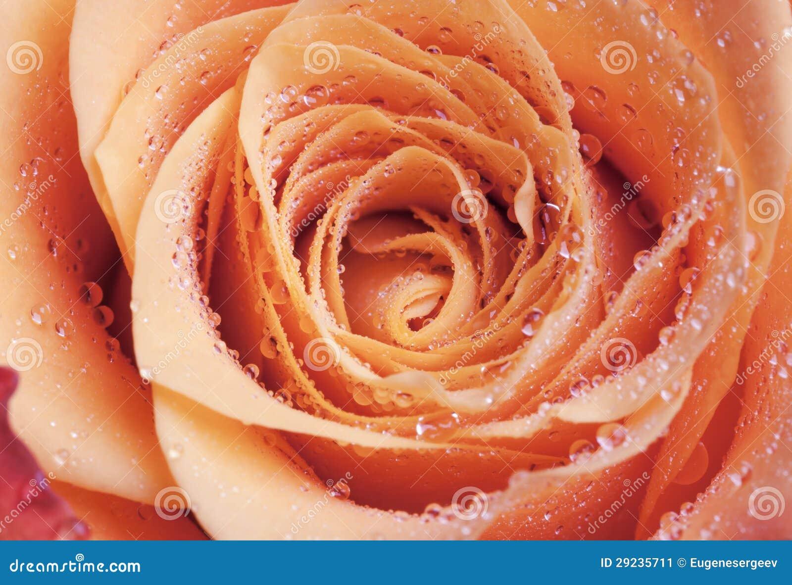 Download Foto Cor-de-rosa Do Macro Da Flor Da Laranja Imagem de Stock - Imagem de brilhante, flor: 29235711