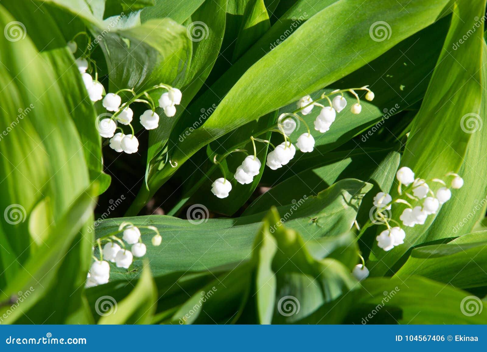 Foto de flores da floresta bracelets Lírio do