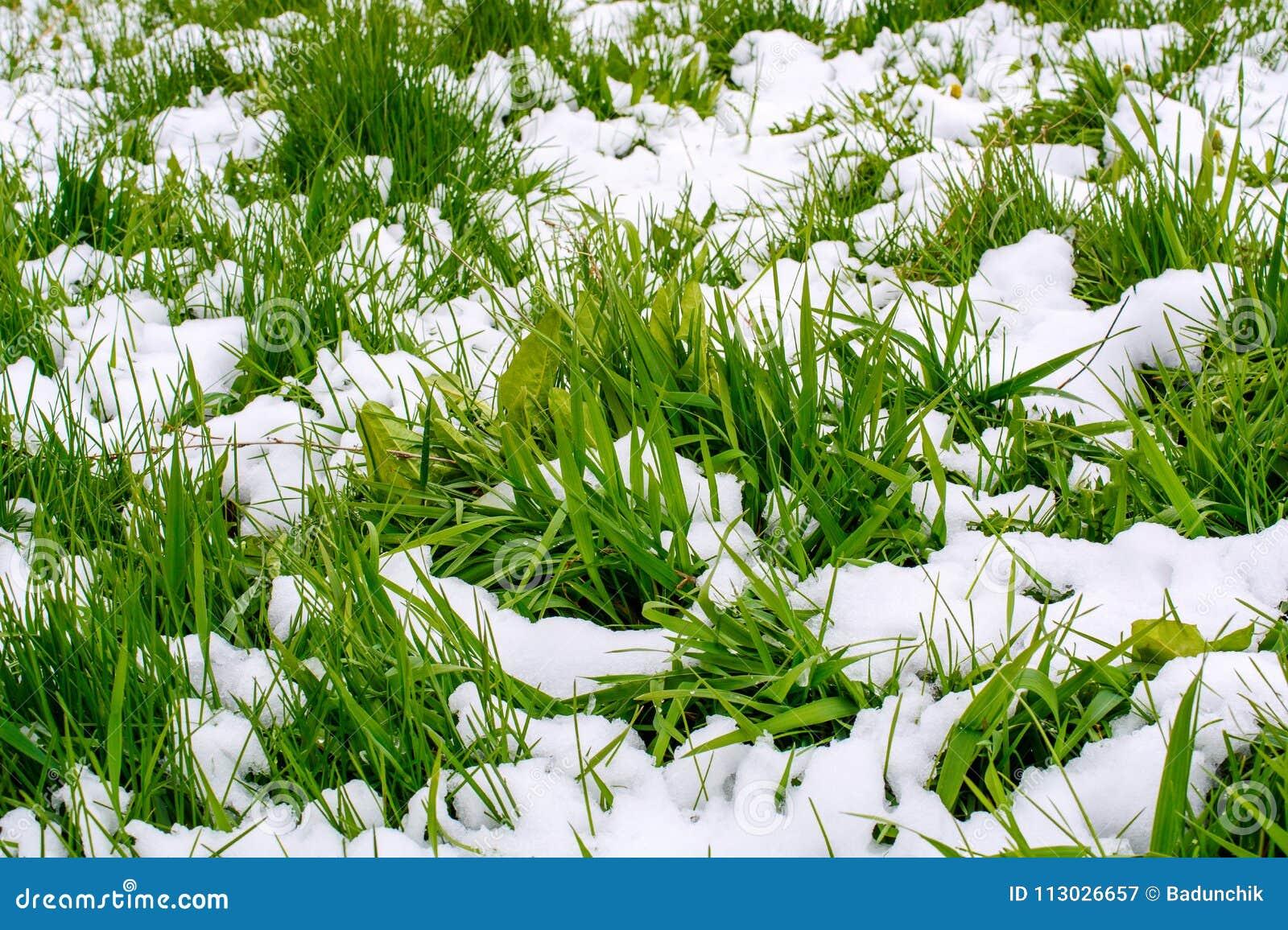 Foto de la hierba verde después de la nieve que cae en primavera
