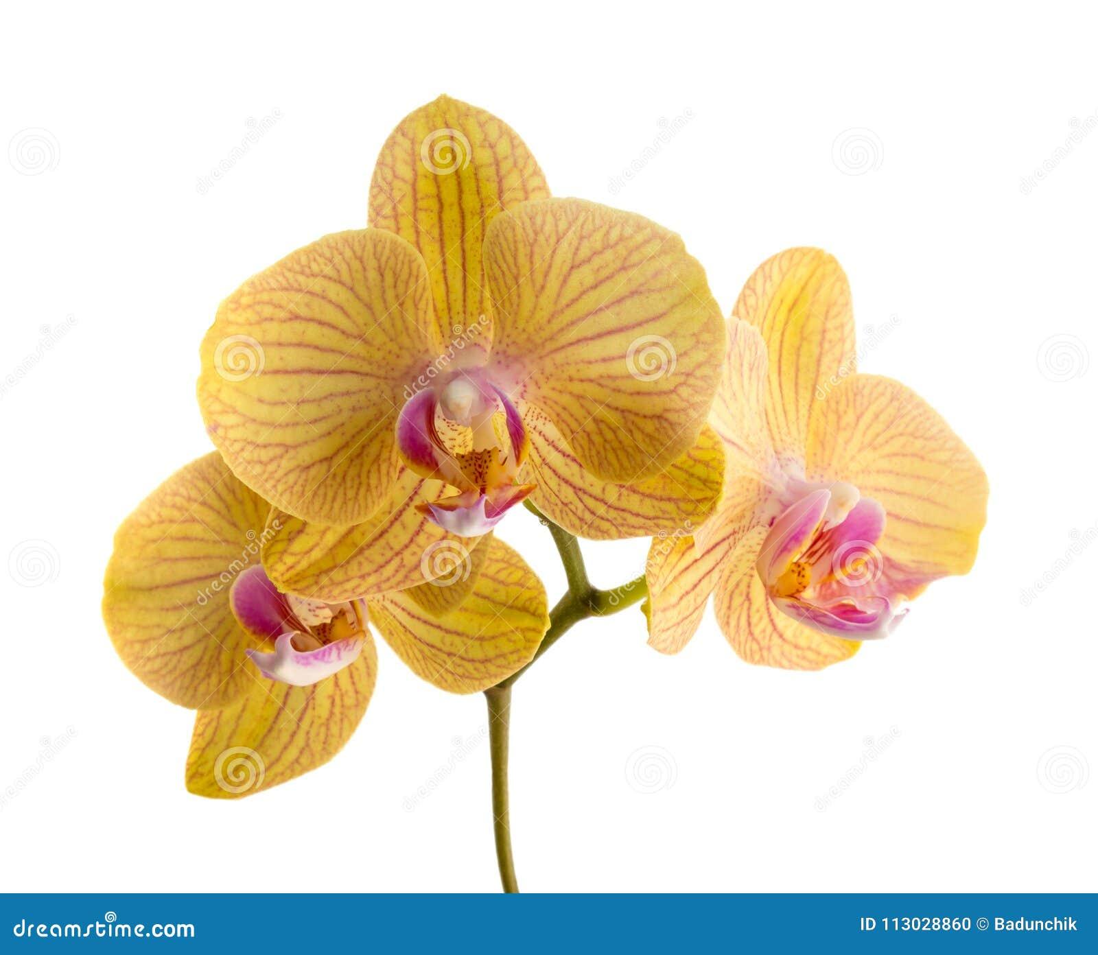 Foto de la orquídea anaranjada en el fondo blanco