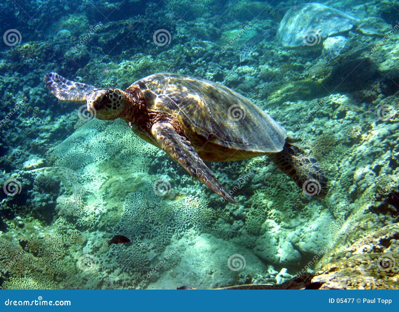 Foto de la tortuga de mar verde