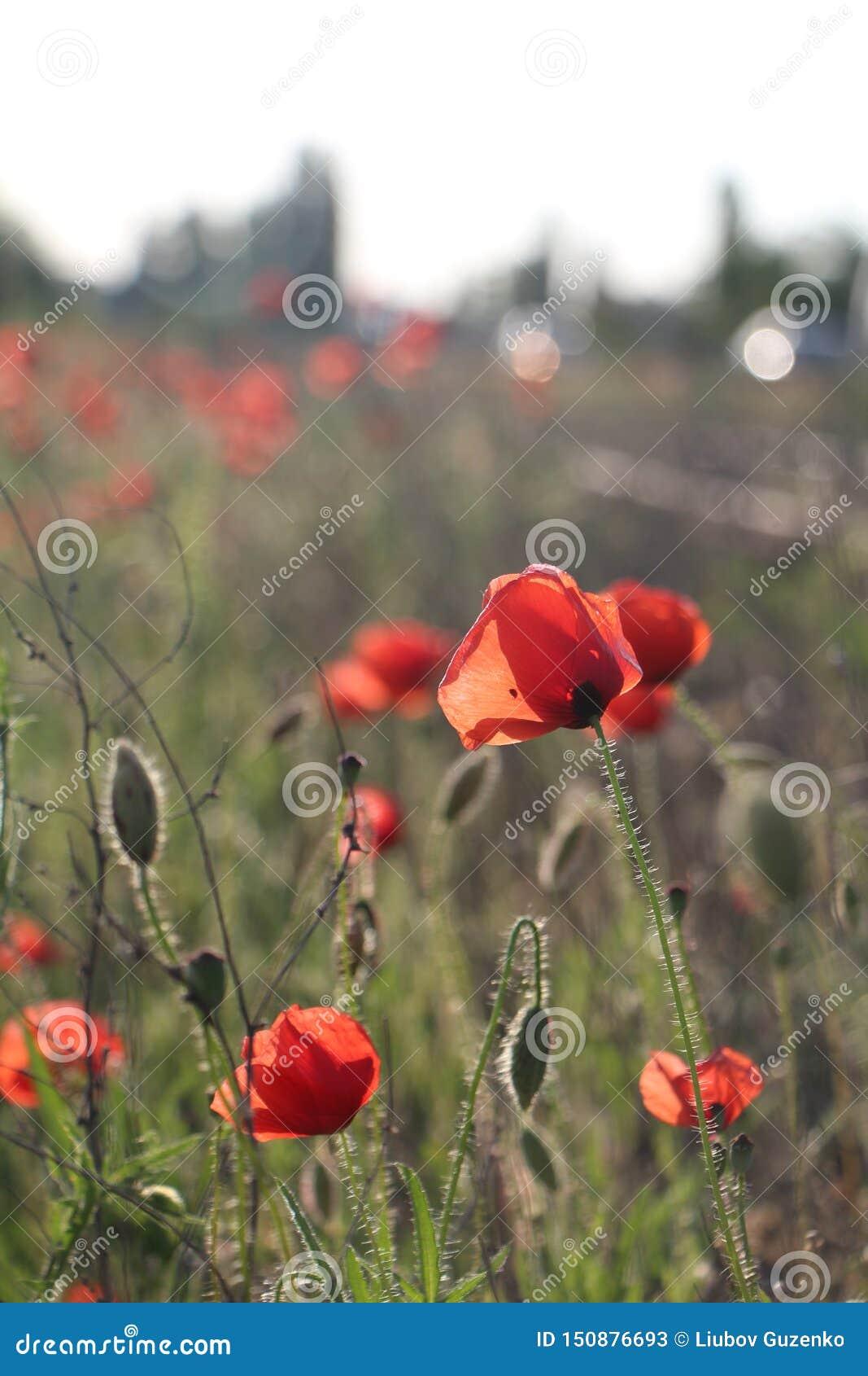 Foto de papoilas vermelhas no verão na natureza