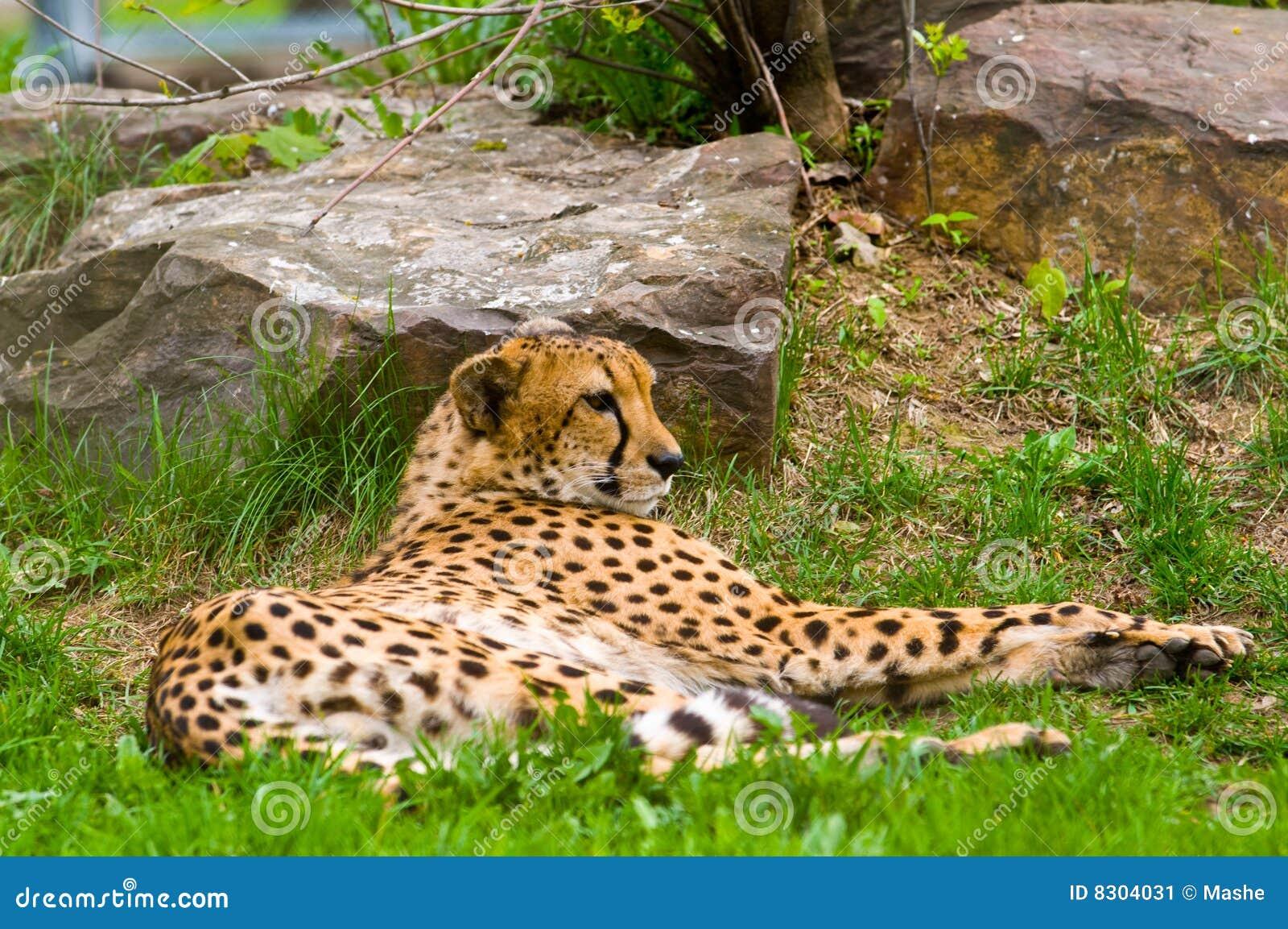 Foto de un jaguar masculino (onca del Panthera)