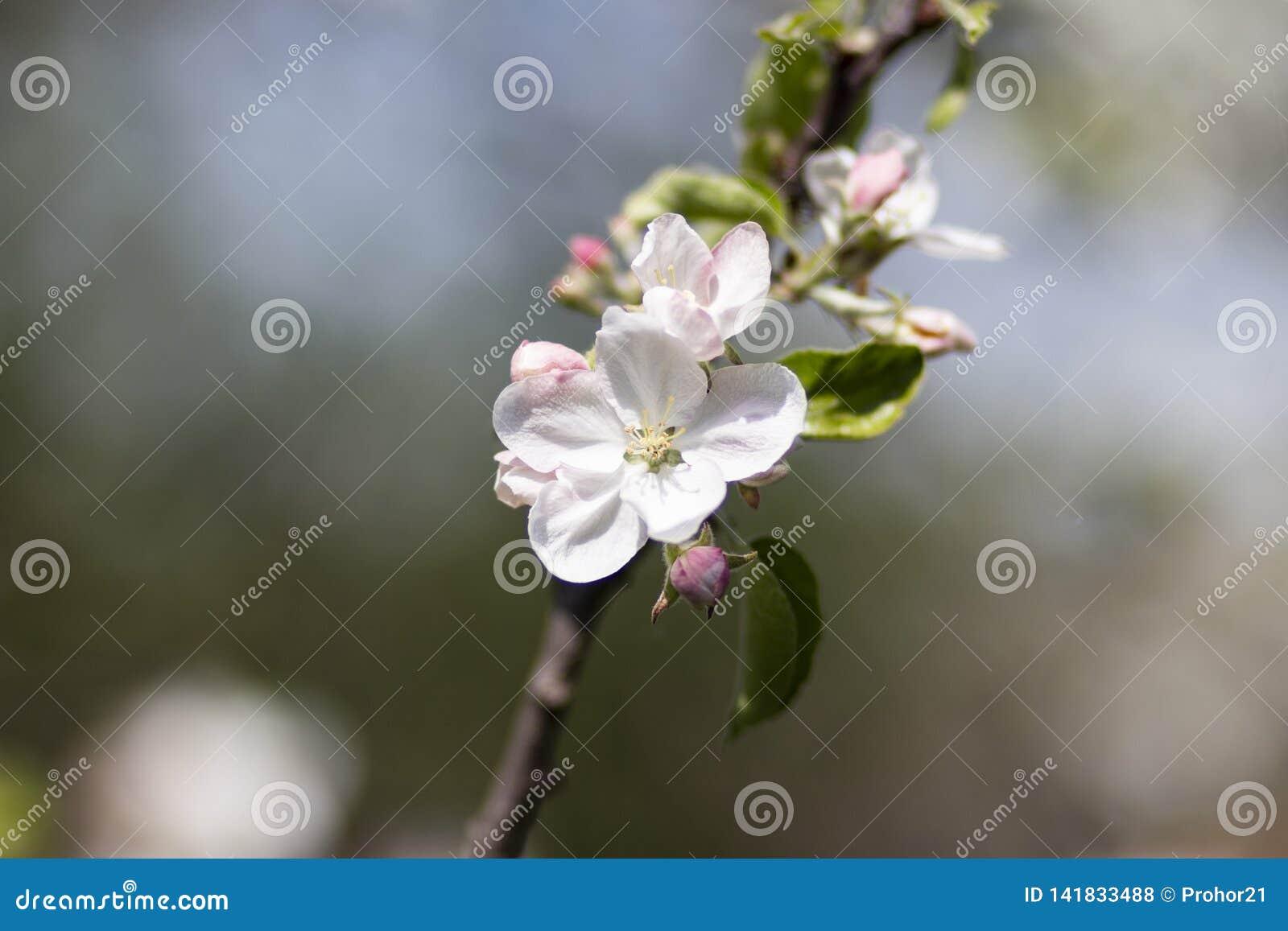Foto de un manzano floreciente