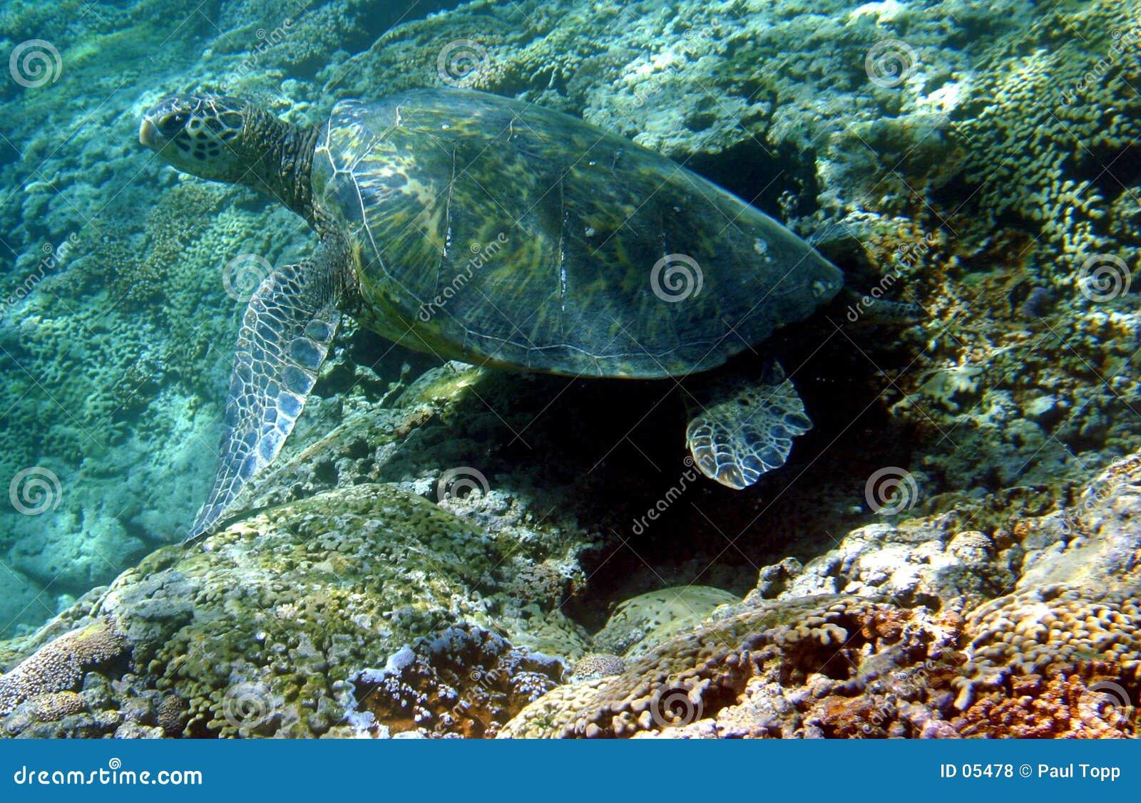 Foto de una tortuga de mar verde