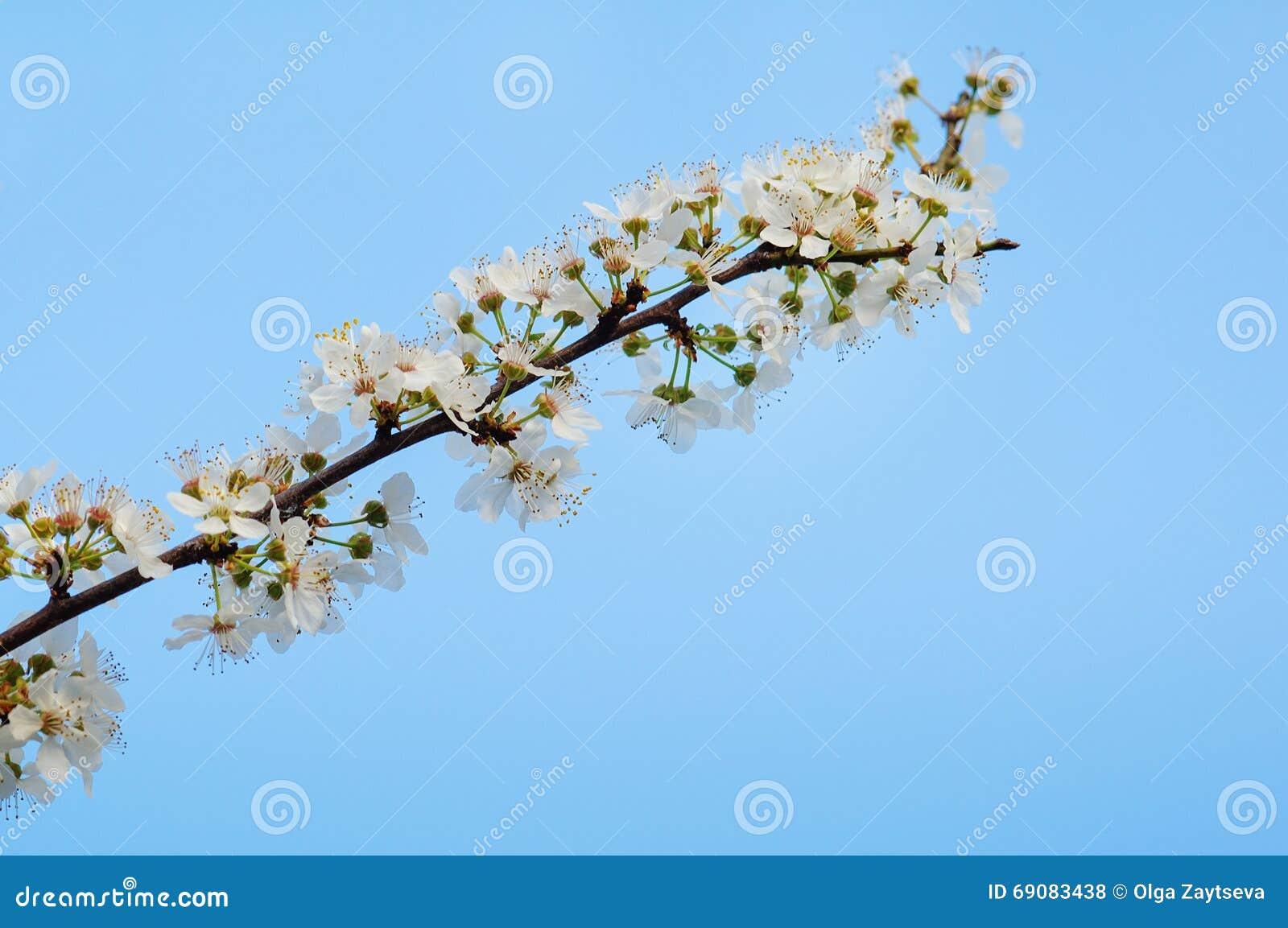 Foto del brunch sbocciante dell 39 albero con i fiori bianchi for Albero con fiori blu