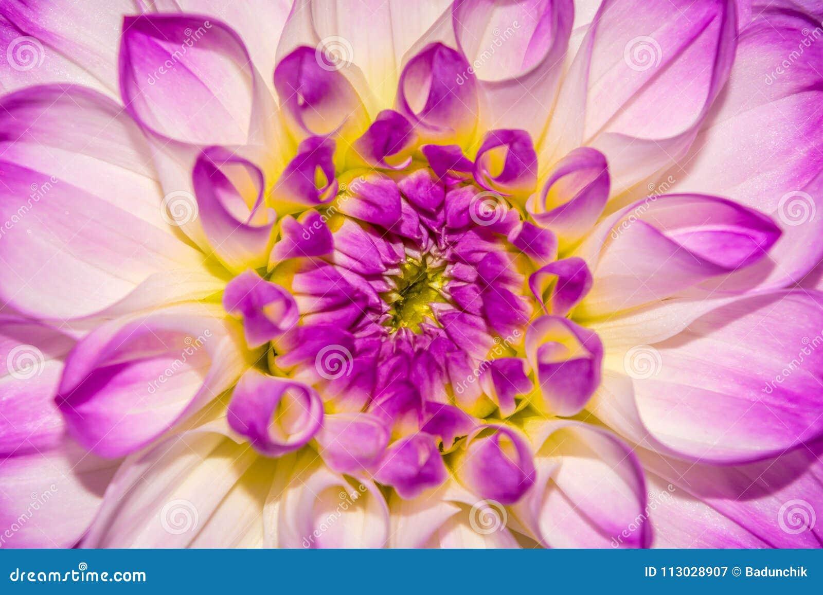 Foto del fondo de la flor del extracto del primer, una textura de la flor