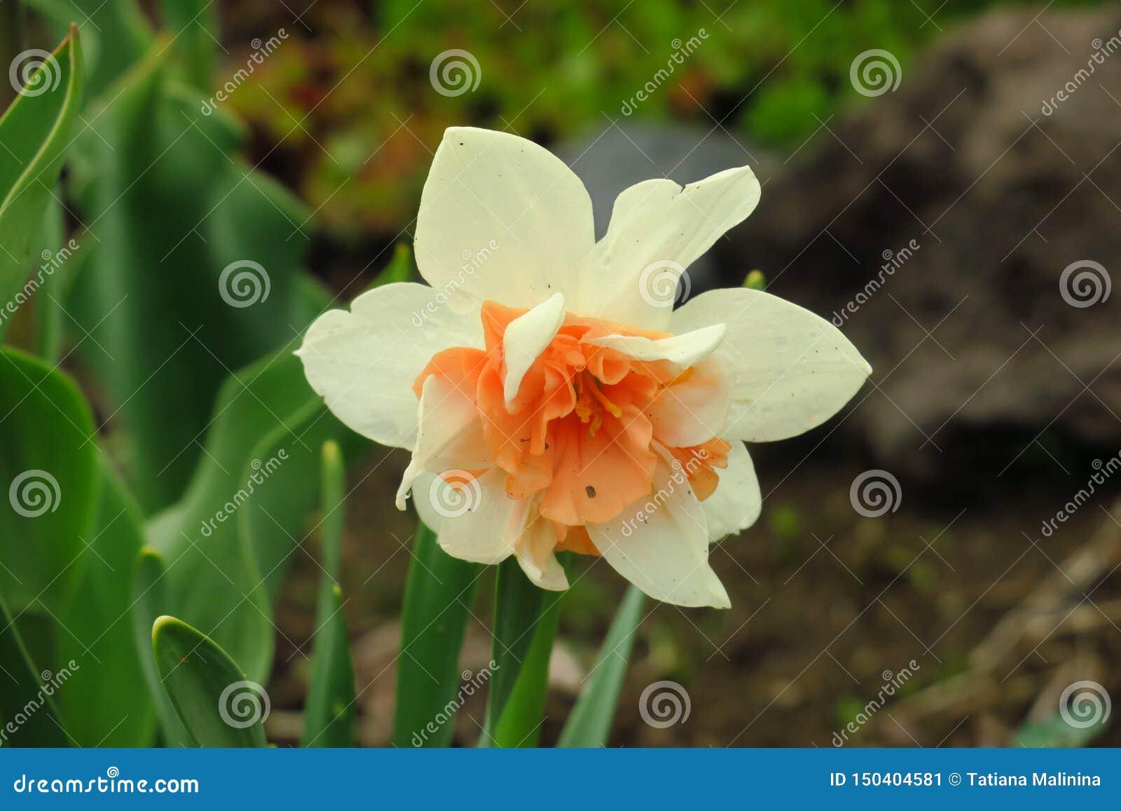 Foto del narciso dei fiori bianchi Narciso del narciso del fondo con i germogli e le foglie verdi gialli Fiore della sorgente