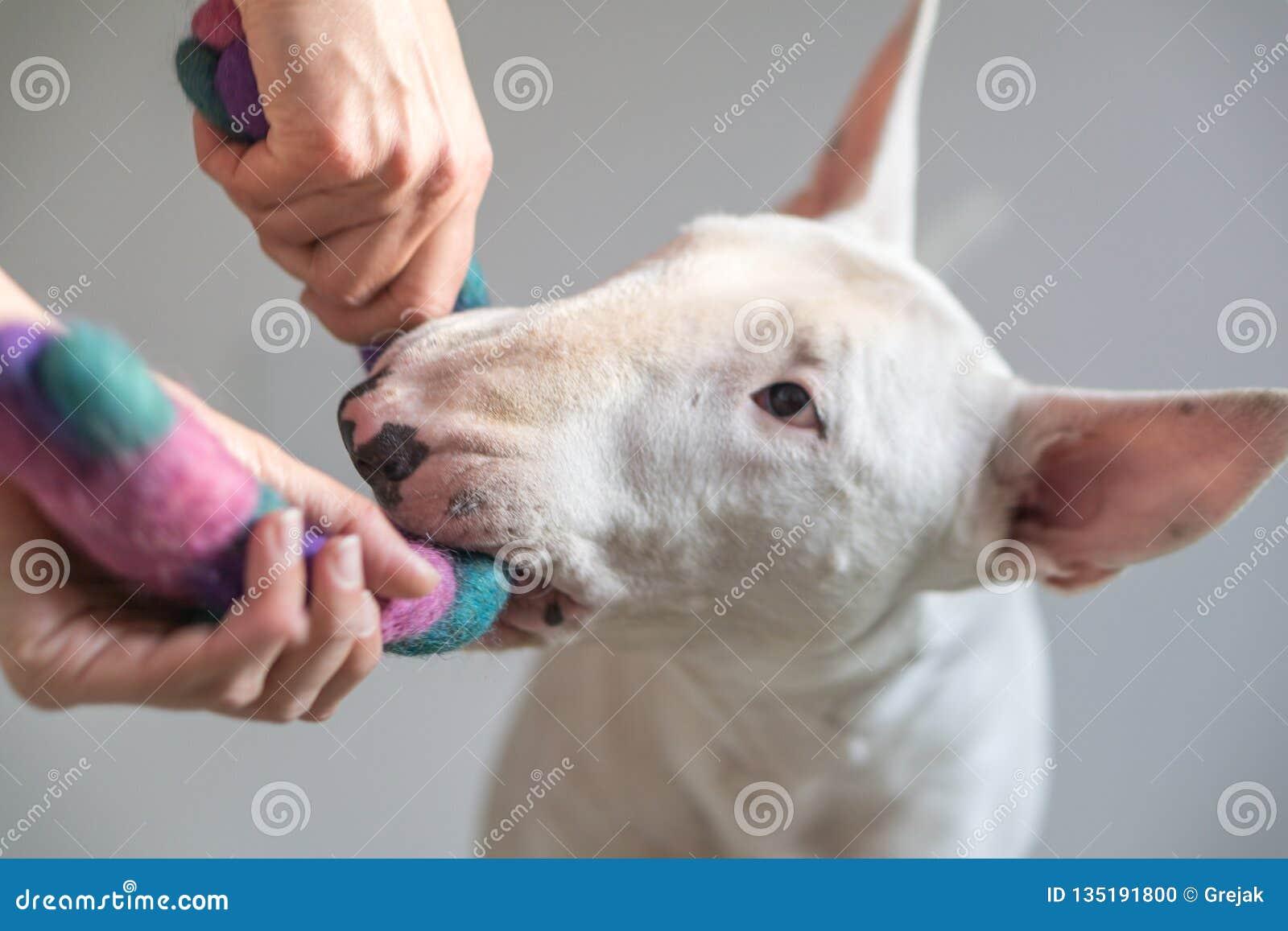 Foto del perro de bull terrier y el jugar femenino así como un juguete del perro - con el fondo blanco en la parte posterior