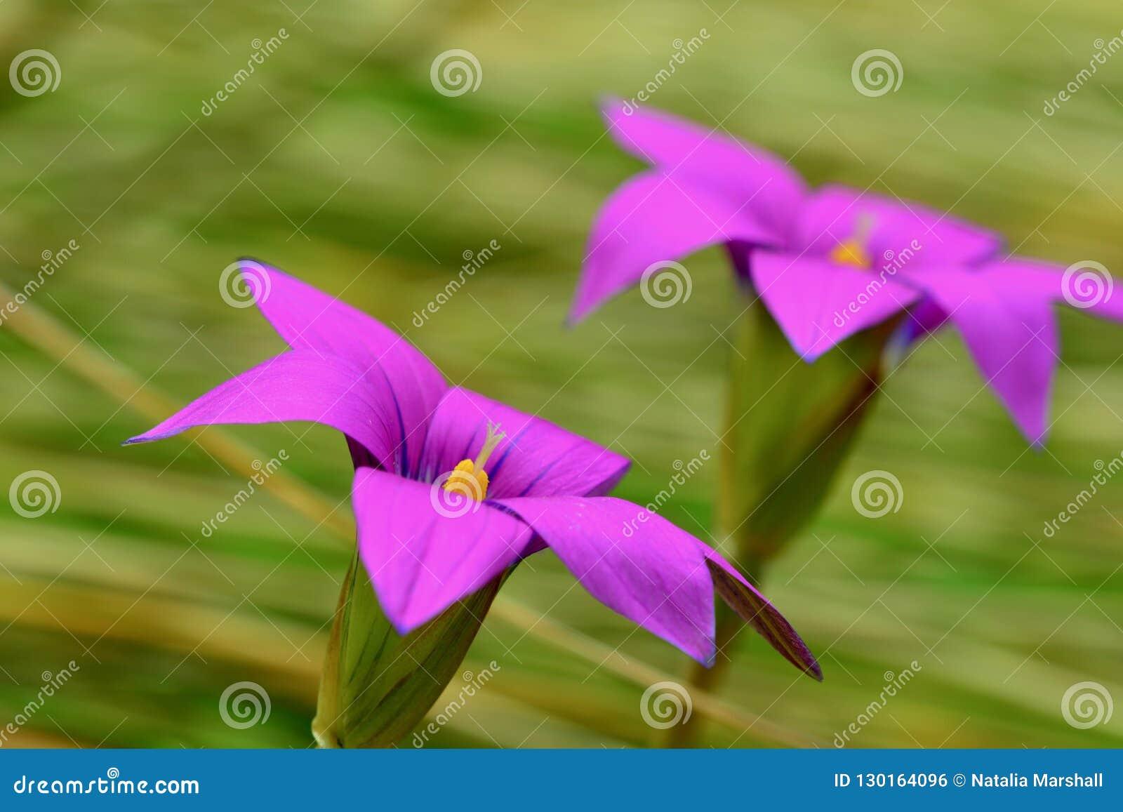 Foto Del Primer De Flores Púrpuras Hermosas En Fondo Verde Suave