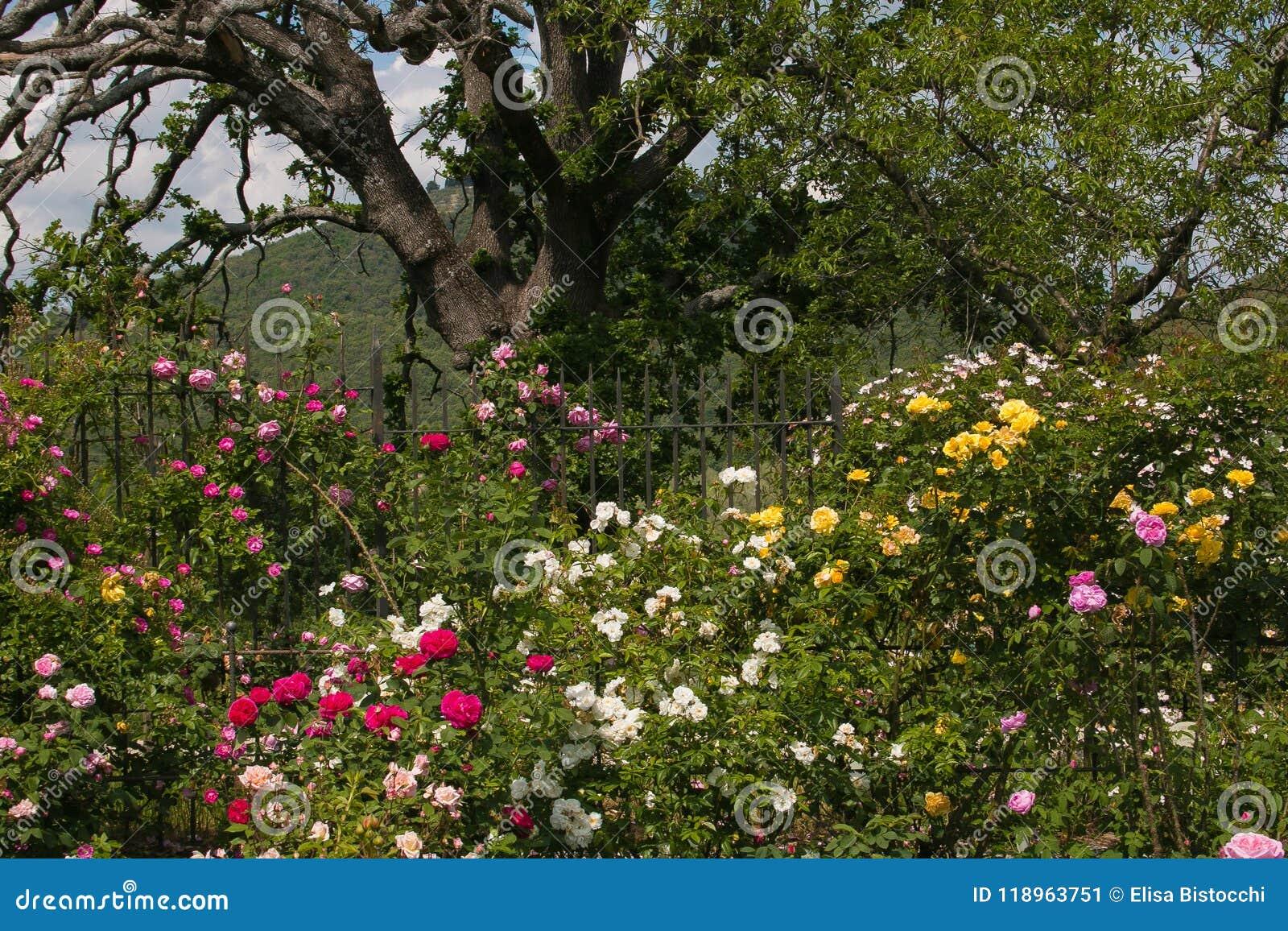 Foto del roble grande en la rosa que cultiva un huerto - Fotos del roble ...