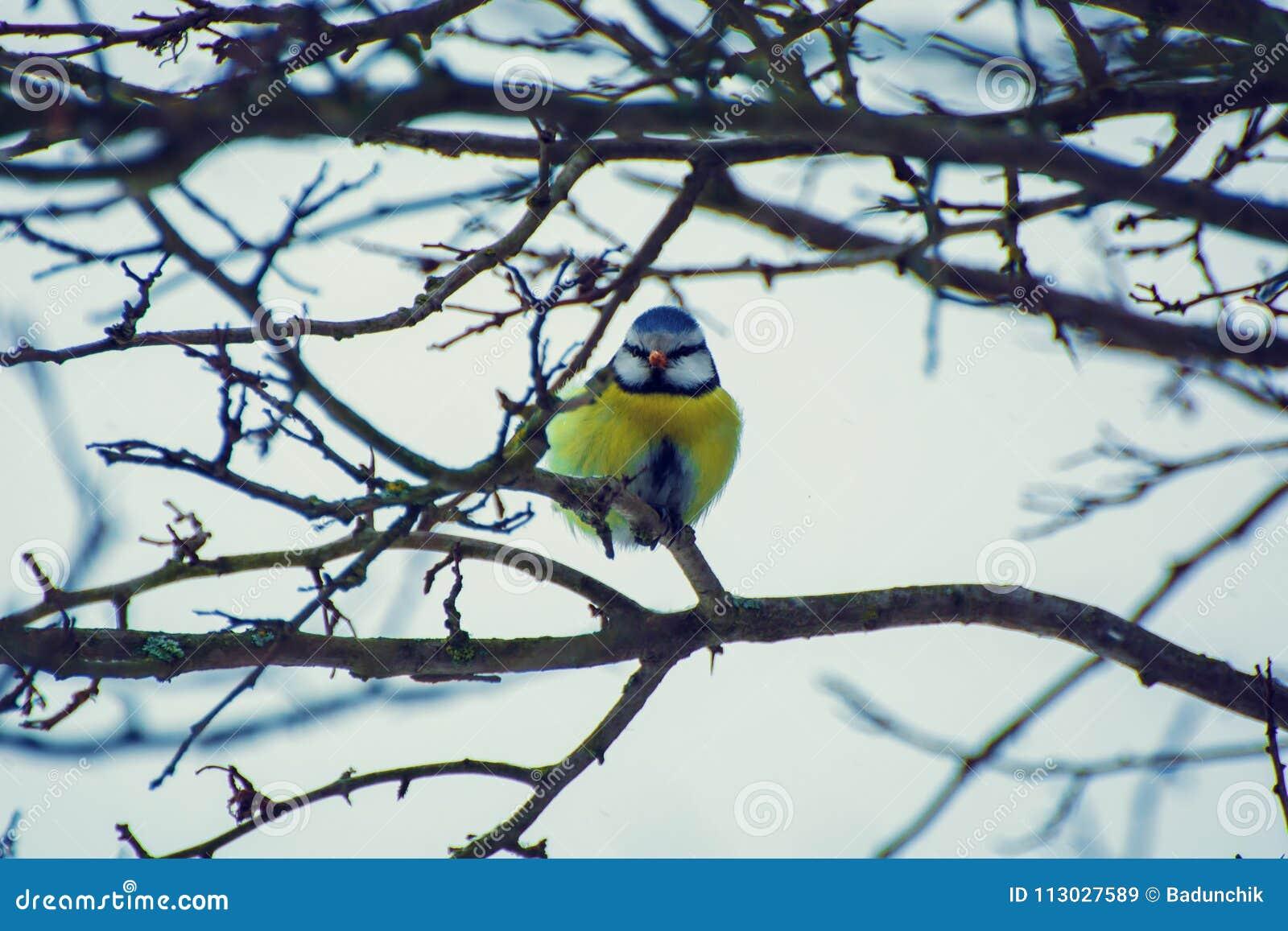 Foto del tit hermoso en rama en invierno