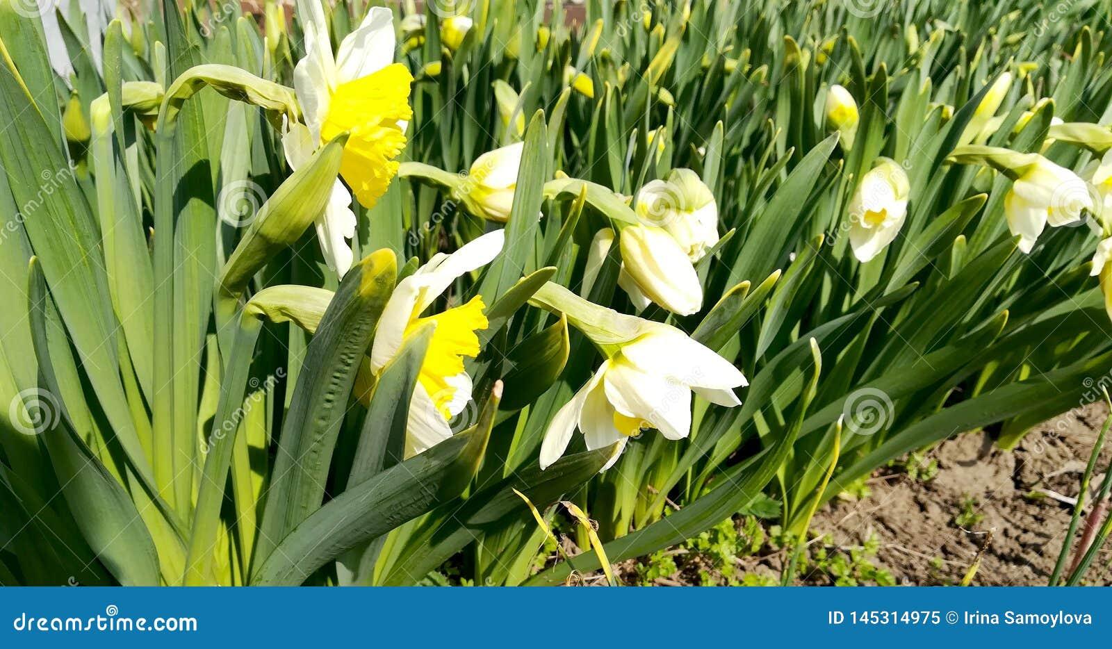 Foto der Narzisse der weißen Blumen mit den gelben Knospen und den grünen Blättern