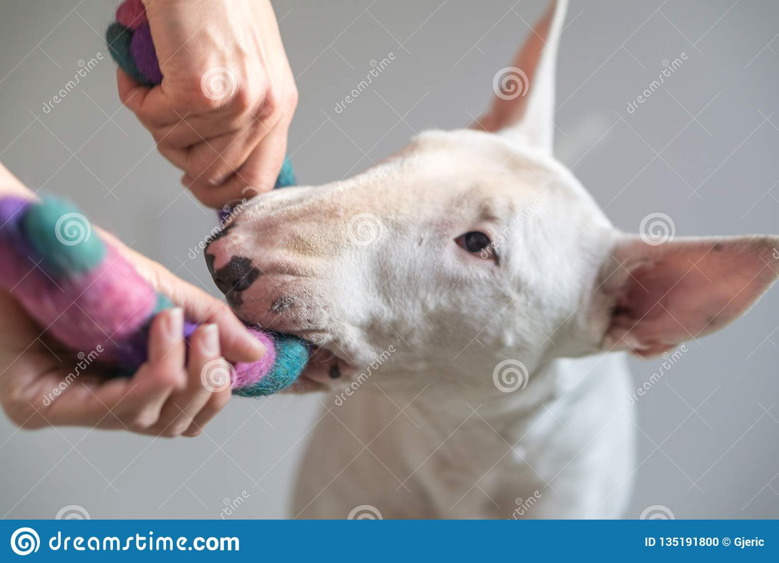 Foto des Bullterrierhundes und ein girly Spielen zusammen mit einem Hundespielzeug - mit weißem Hintergrund in der Rückseite