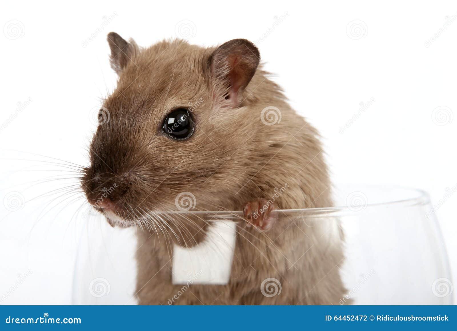 Foto di concetto di un roditore dell animale domestico in un vetro di vino