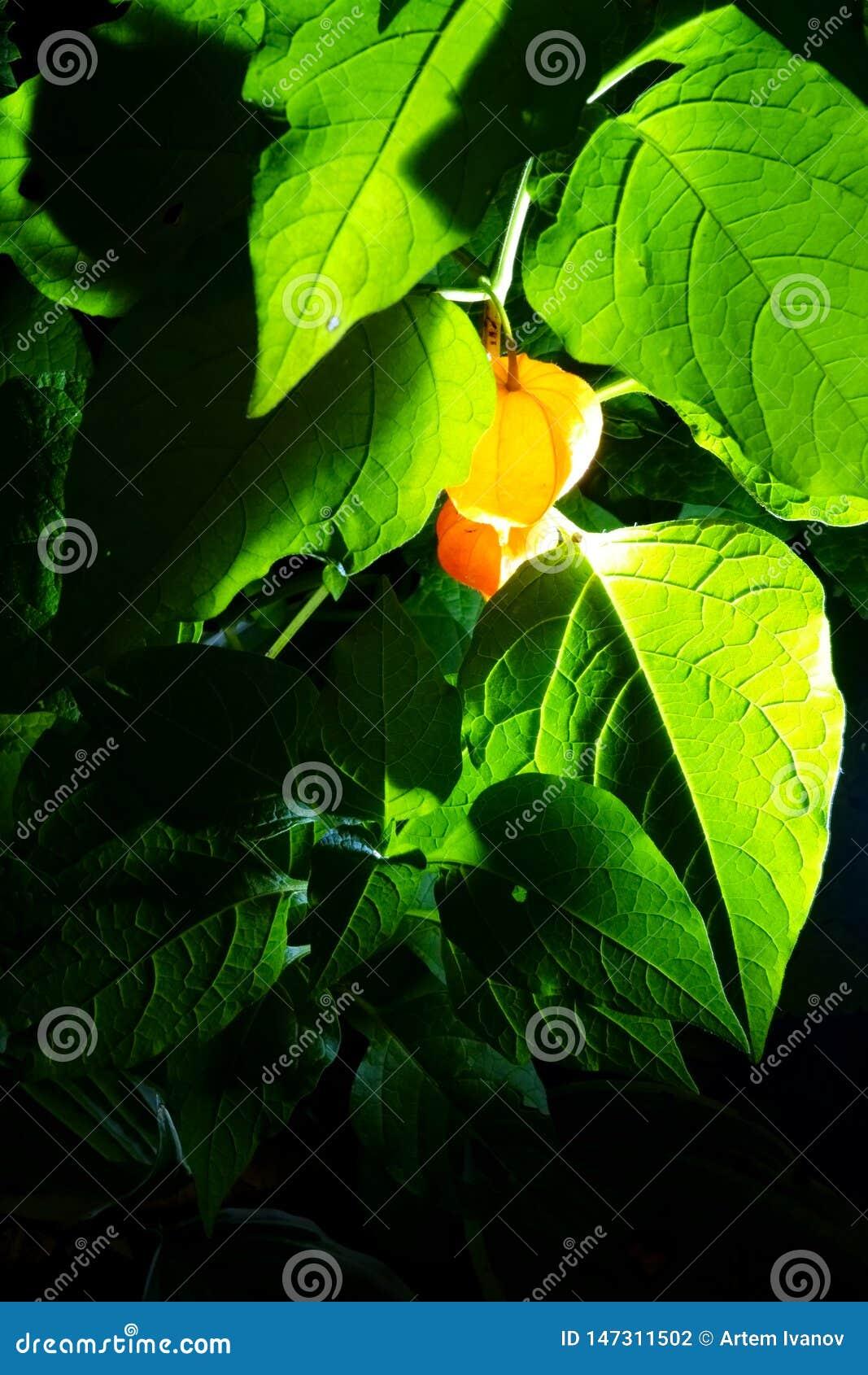 Foto di notte della frutta del Physalis, emettente luce come le lanterne fra le foglie verdi