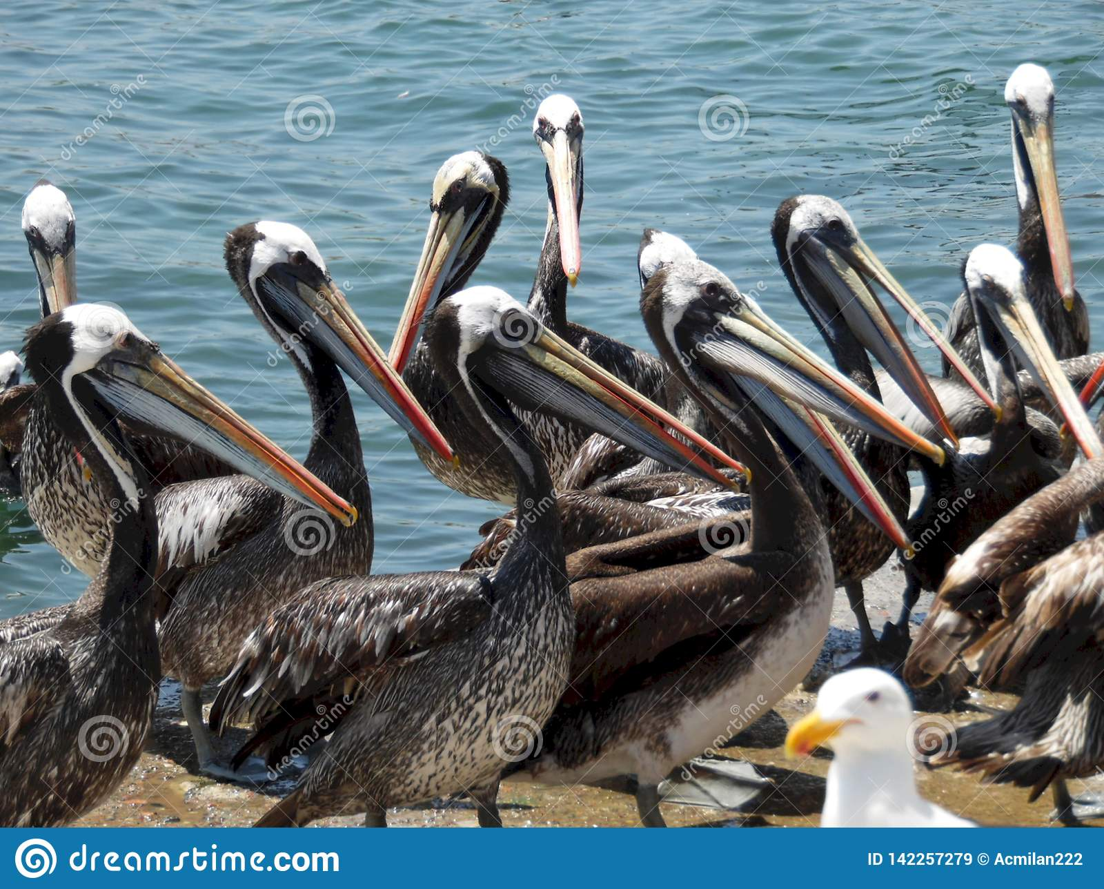 Foto do close-up de pelicanos múltiplos no mercado