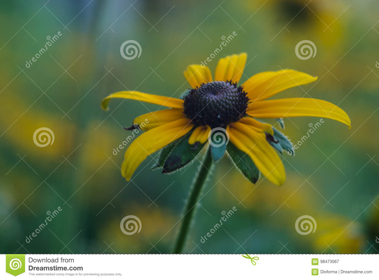 Foto do close up do rudbeckia