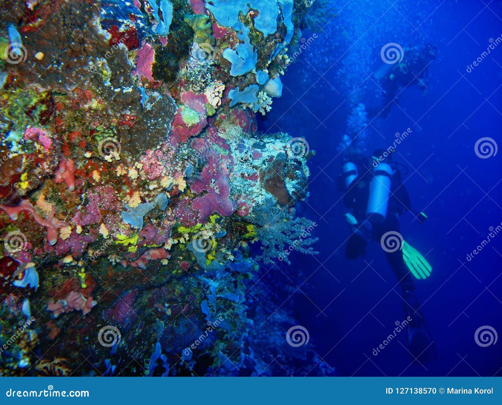 A foto do coral selvagem subaquático no primeiro plano e dois mergulhadores de mergulhador estão no fundo azul da agua potável