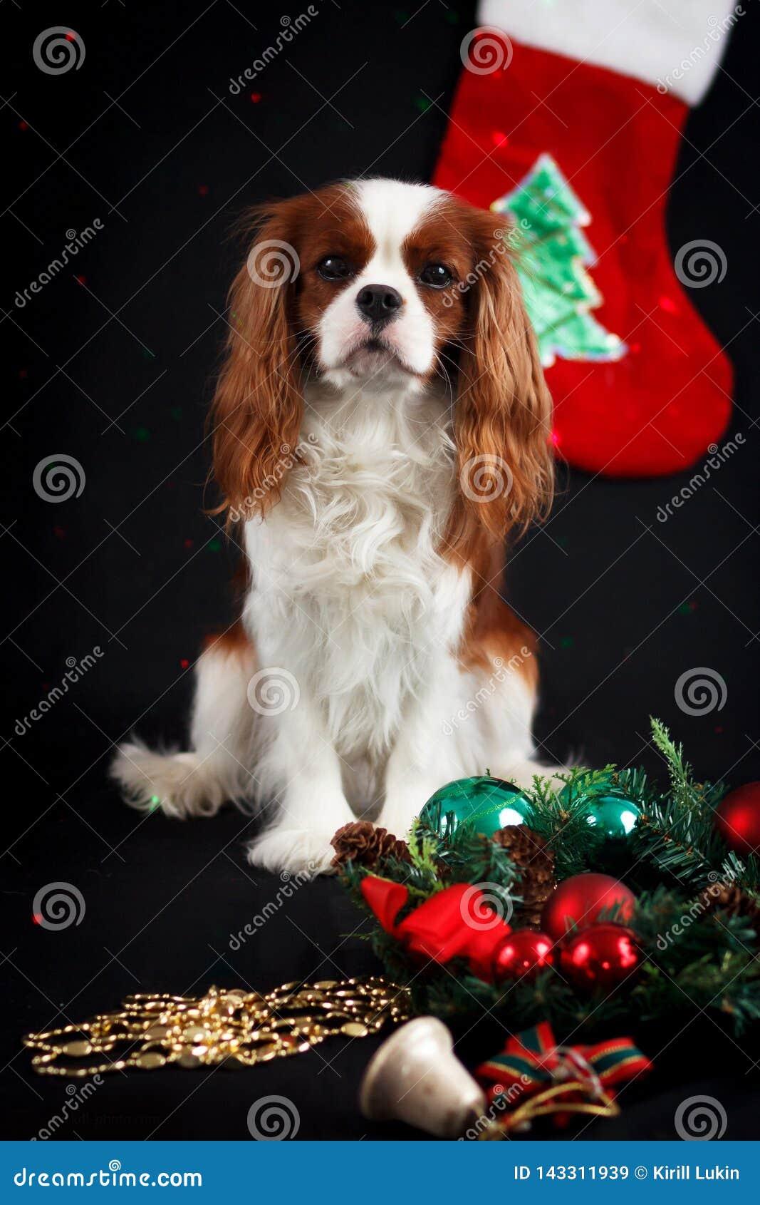 Foto do Natal do spaniel de rei Charles descuidado