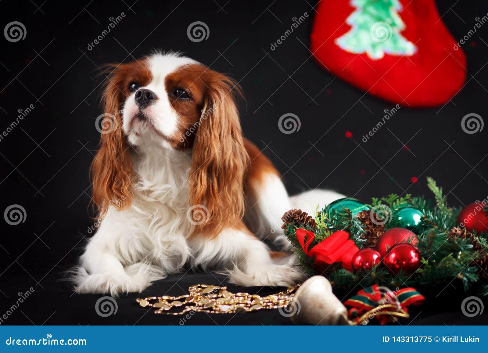 Foto do Natal do spaniel de rei Charles descuidado no fundo preto