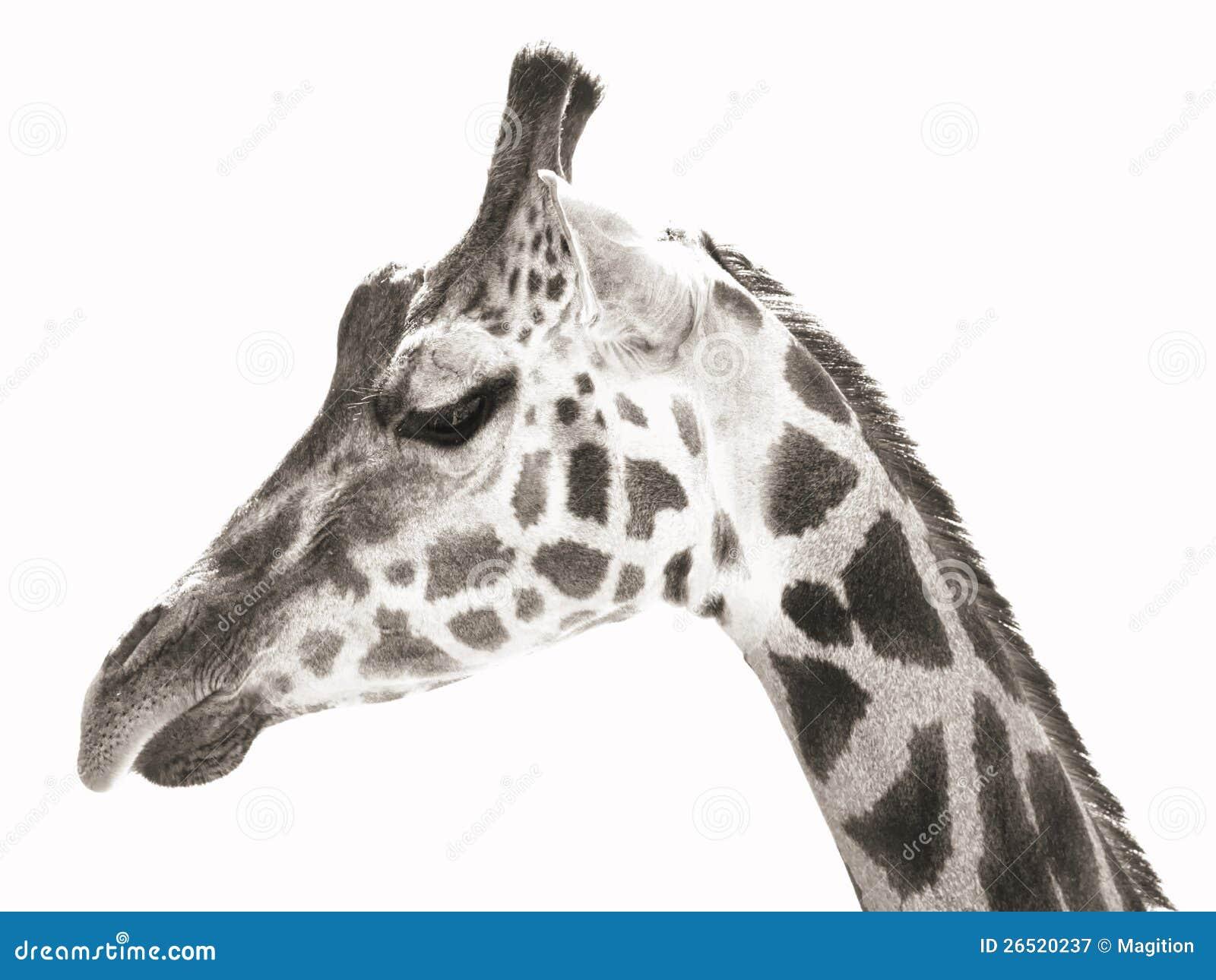 Foto do retrato do giraffe (monocromático)