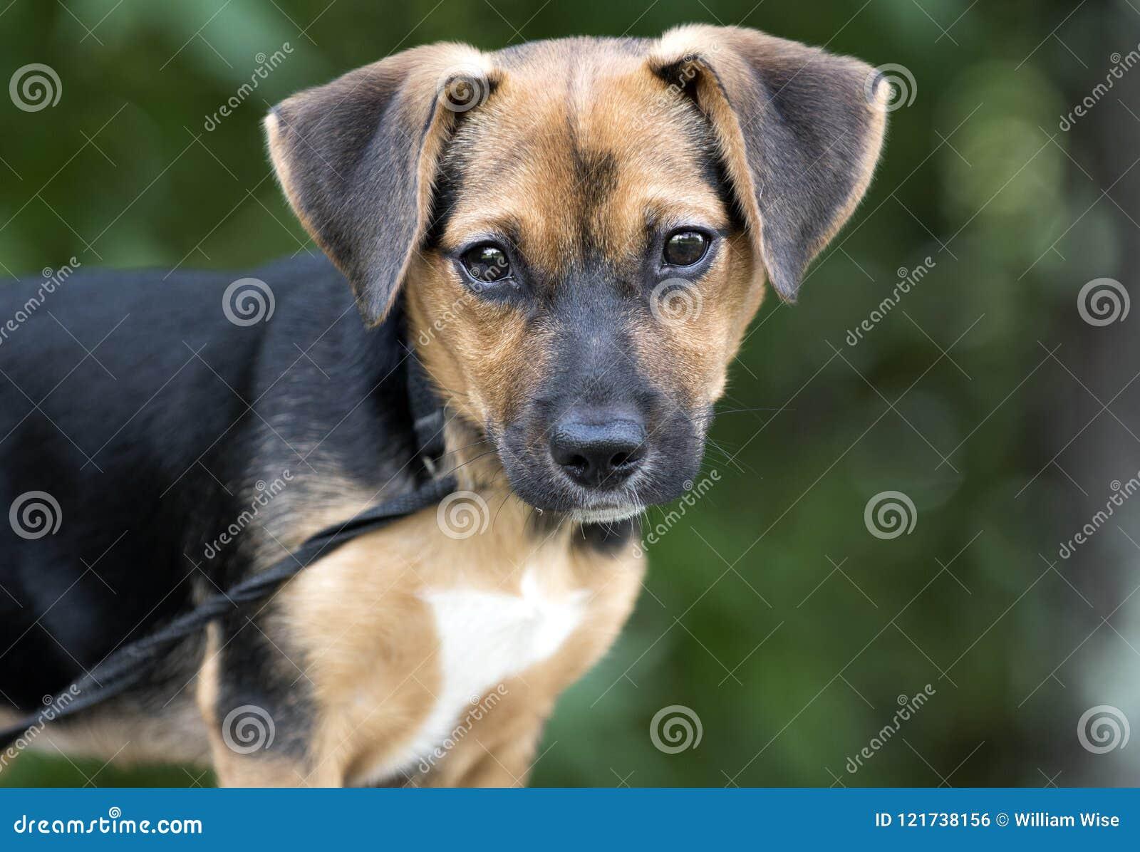 Foto linda de la adopción del animal doméstico del perro de perrito de la mezcla del beagle