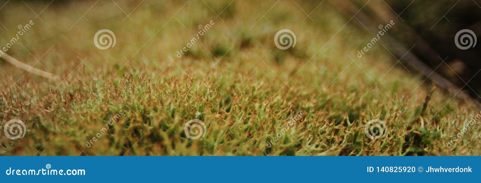 Foto macra alargada del musgo verde, mostrando claramente la estructura ramificada