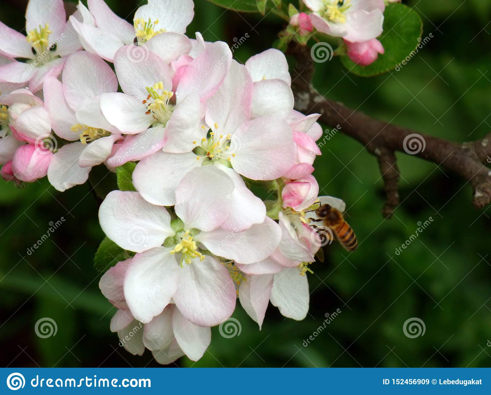 Foto macra de las flores del manzano con una abeja