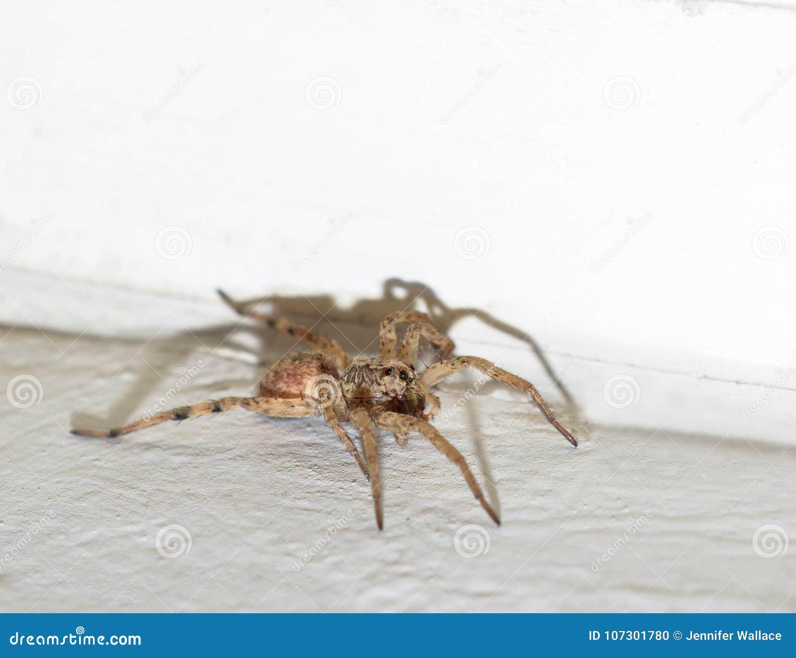 Foto macra de una araña de lobo marrón melenuda dentro de una casa