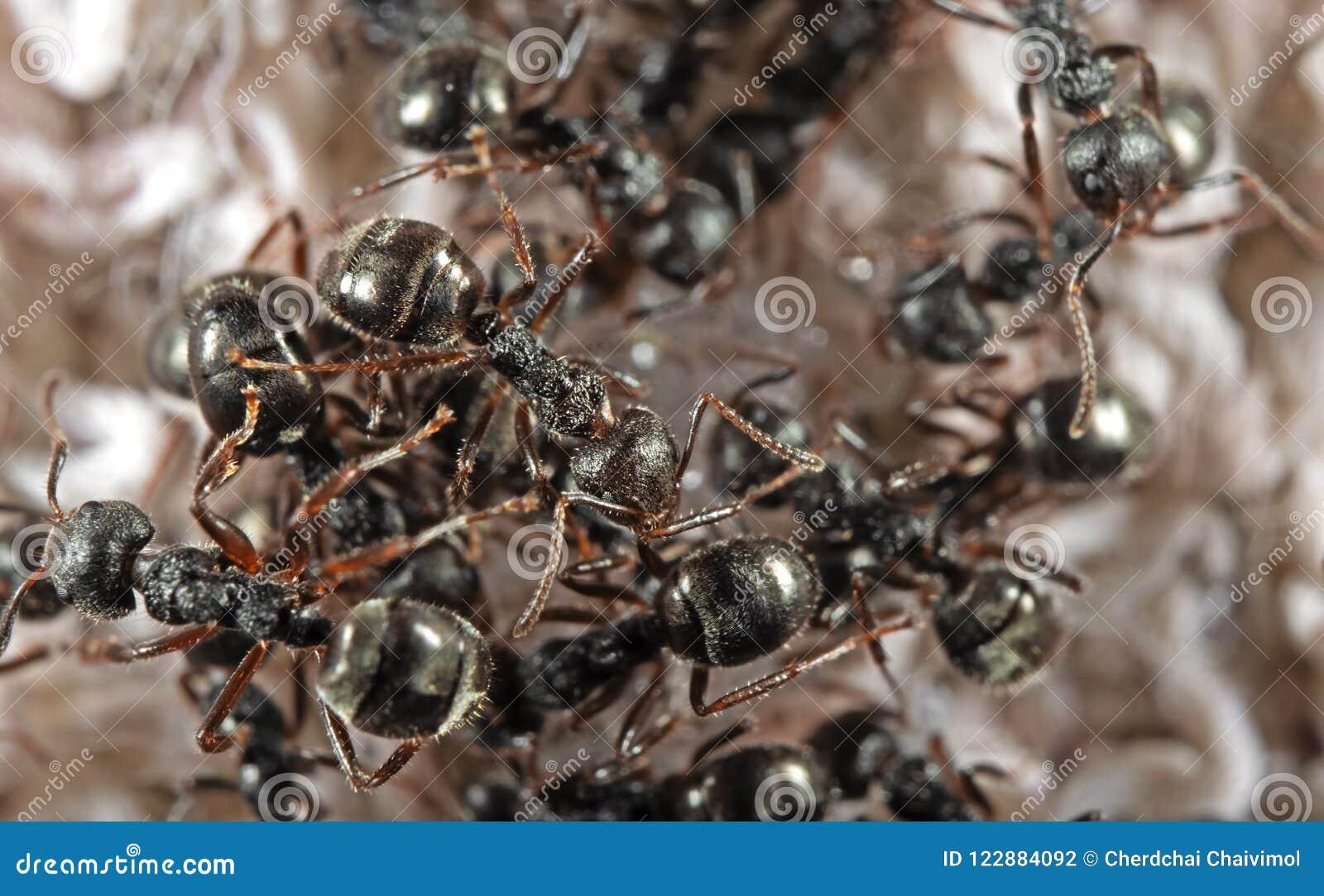 Foto Macra Del Grupo De Hormigas Negras Del Jardín Que Buscan Para ...
