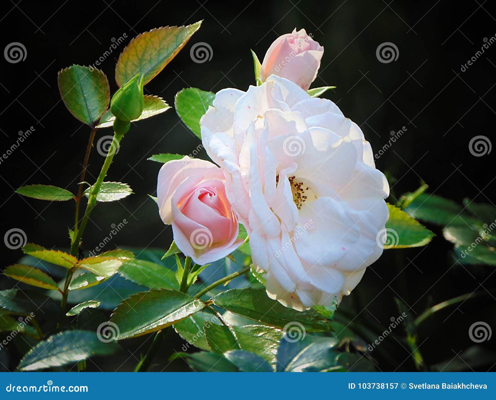 Foto macro com um conjunto bonito da textura decorativa do fundo de flores cor-de-rosa
