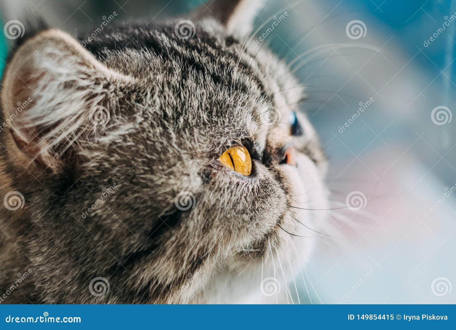 Foto macro da raça exótica do gato de Shorthair cabeça do gato do close up com olho alaranjado