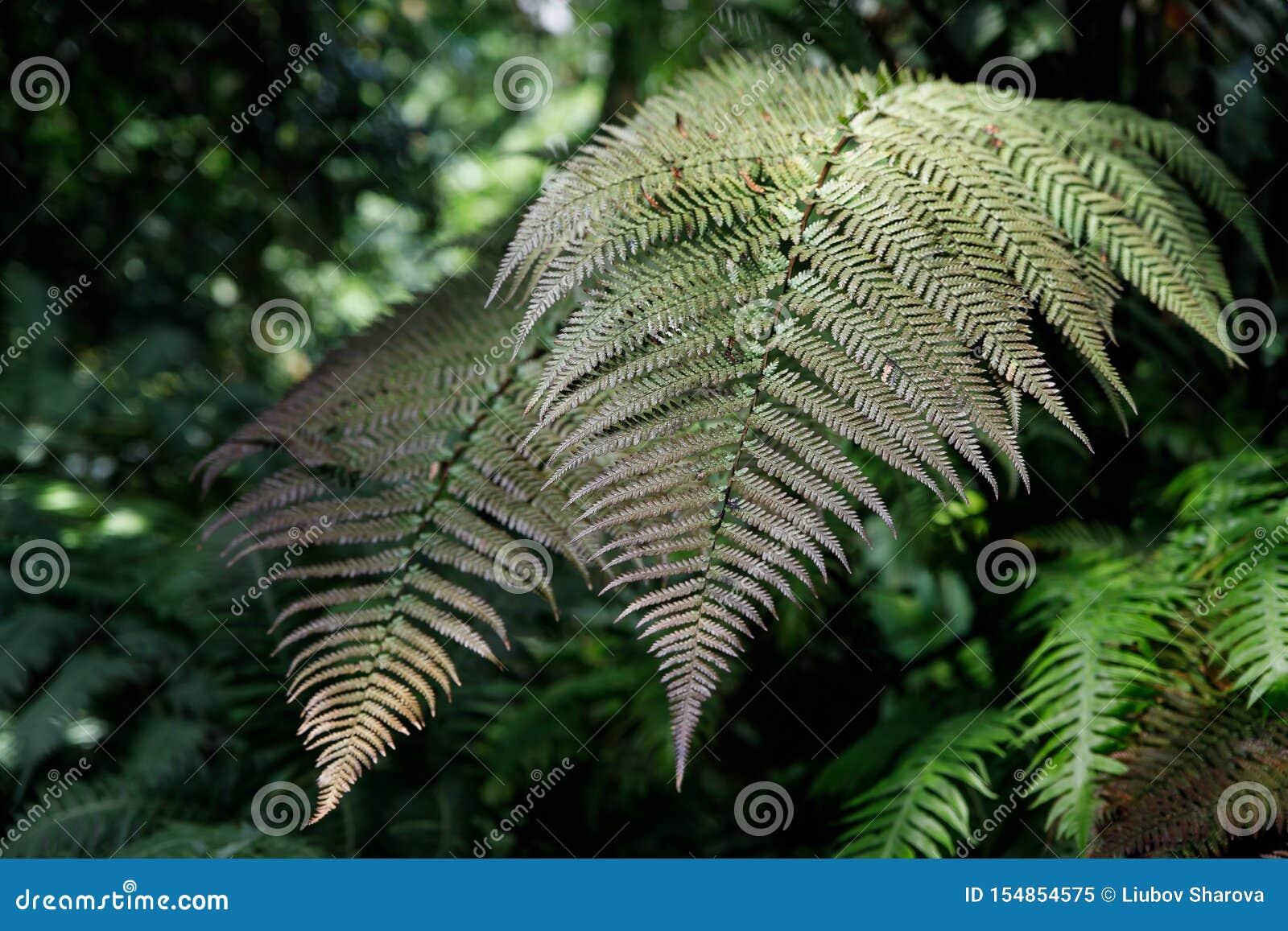 Foto macro das pétalas verdes da samambaia A samambaia da planta floresceu Samambaia no fundo de plantas verdes