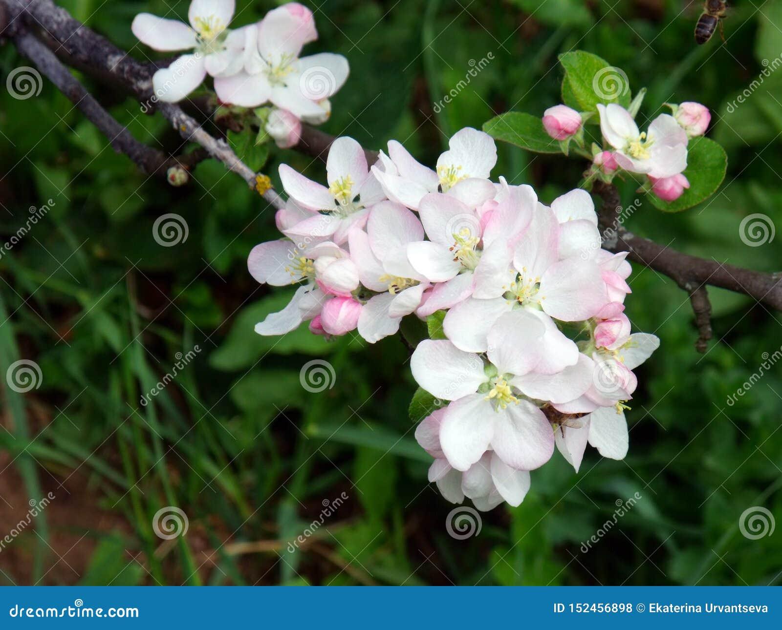 Foto macro de flores da árvore de maçã com uma abelha