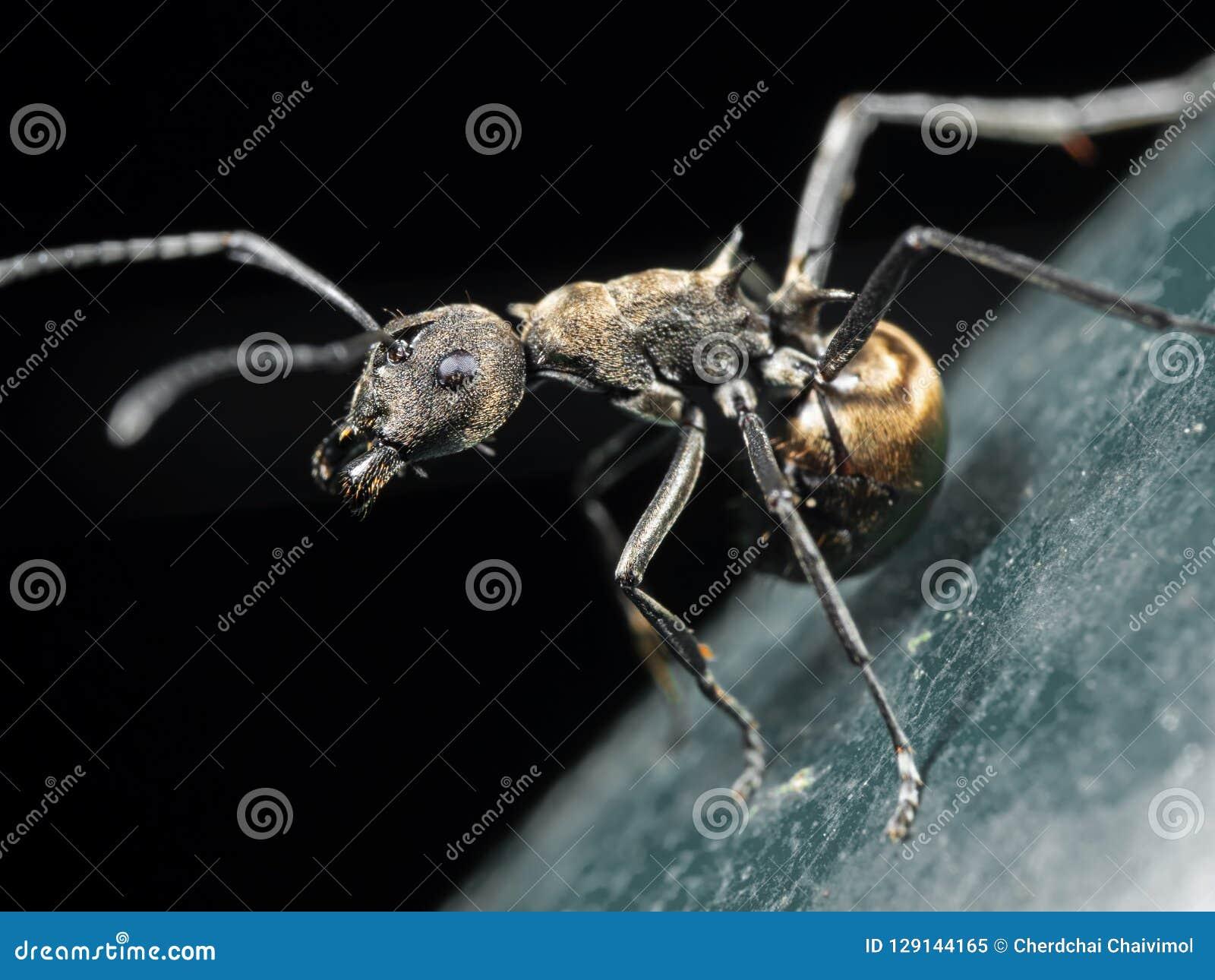 Foto macro de Weaver Ant dourado no assoalho isolado no preto