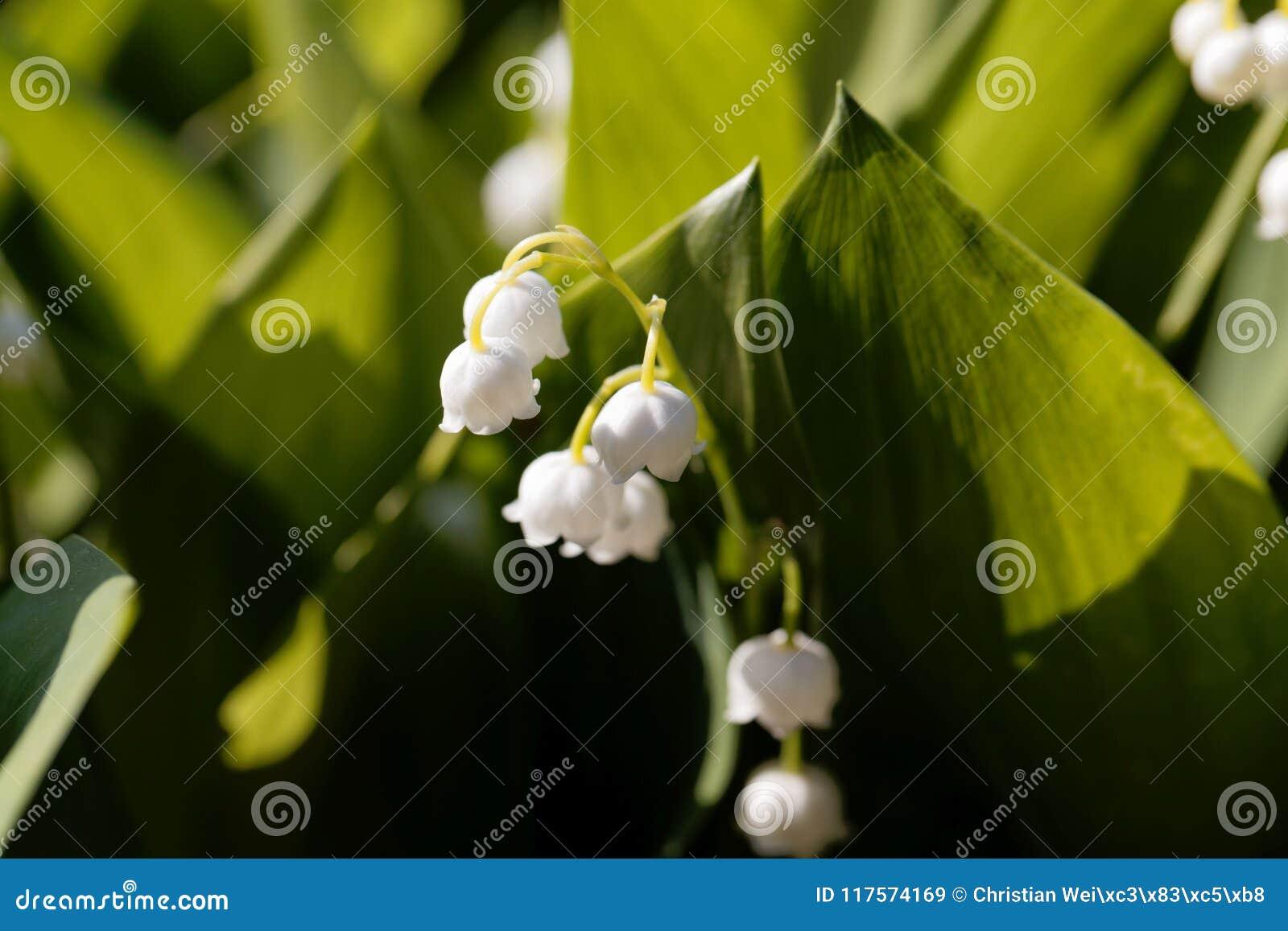 A foto macro do lírio dos majalis do Convallaria do vale floresce w