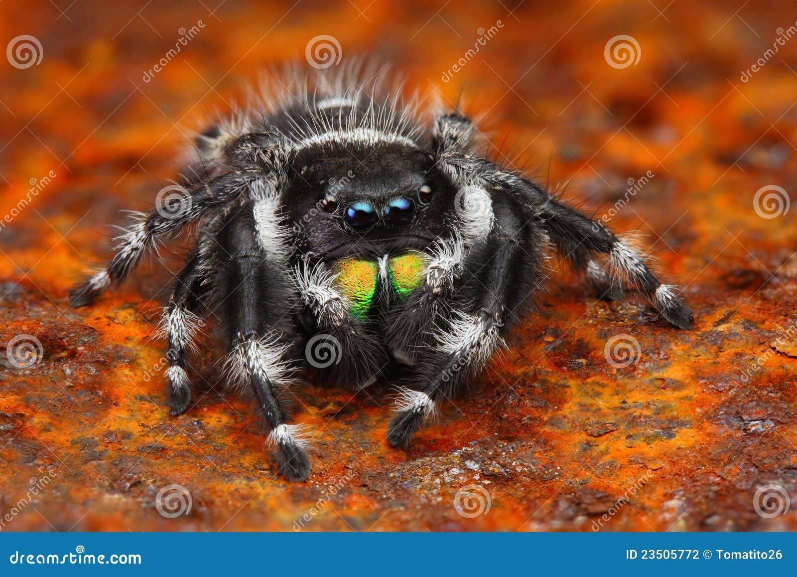 Foto muy sostenida de la araña de salto Phiddipus de los E.E.U.U.