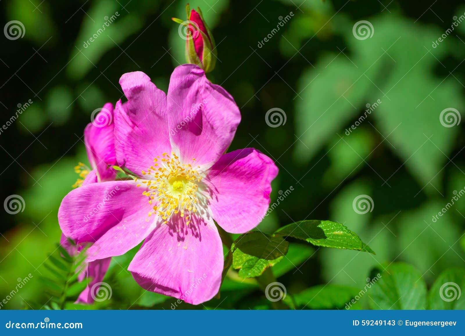 Foto salvaje rosada brillante de la macro de la flor de la perro-rosa