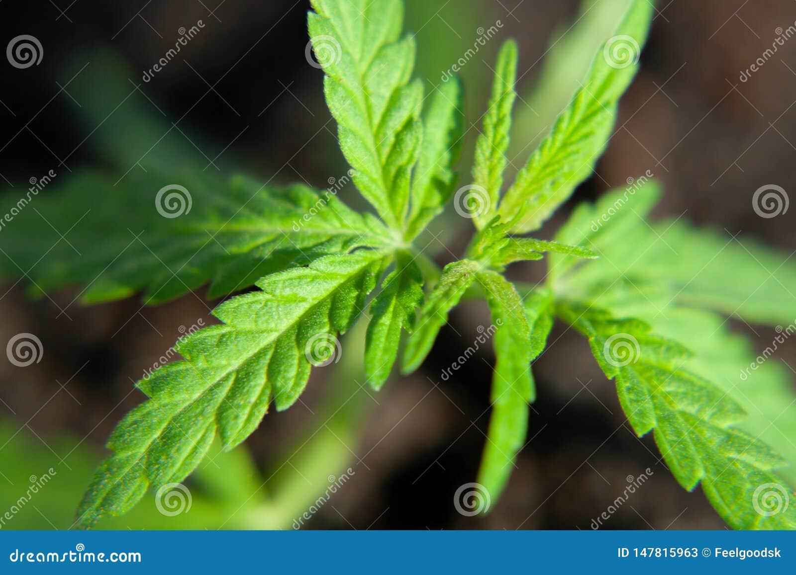 Foto tem?tico para legalizar um c?nhamo da planta Baixo cultivar t?cnico de THC sem o valor da droga Pl?ntula do cannabis, cultiv