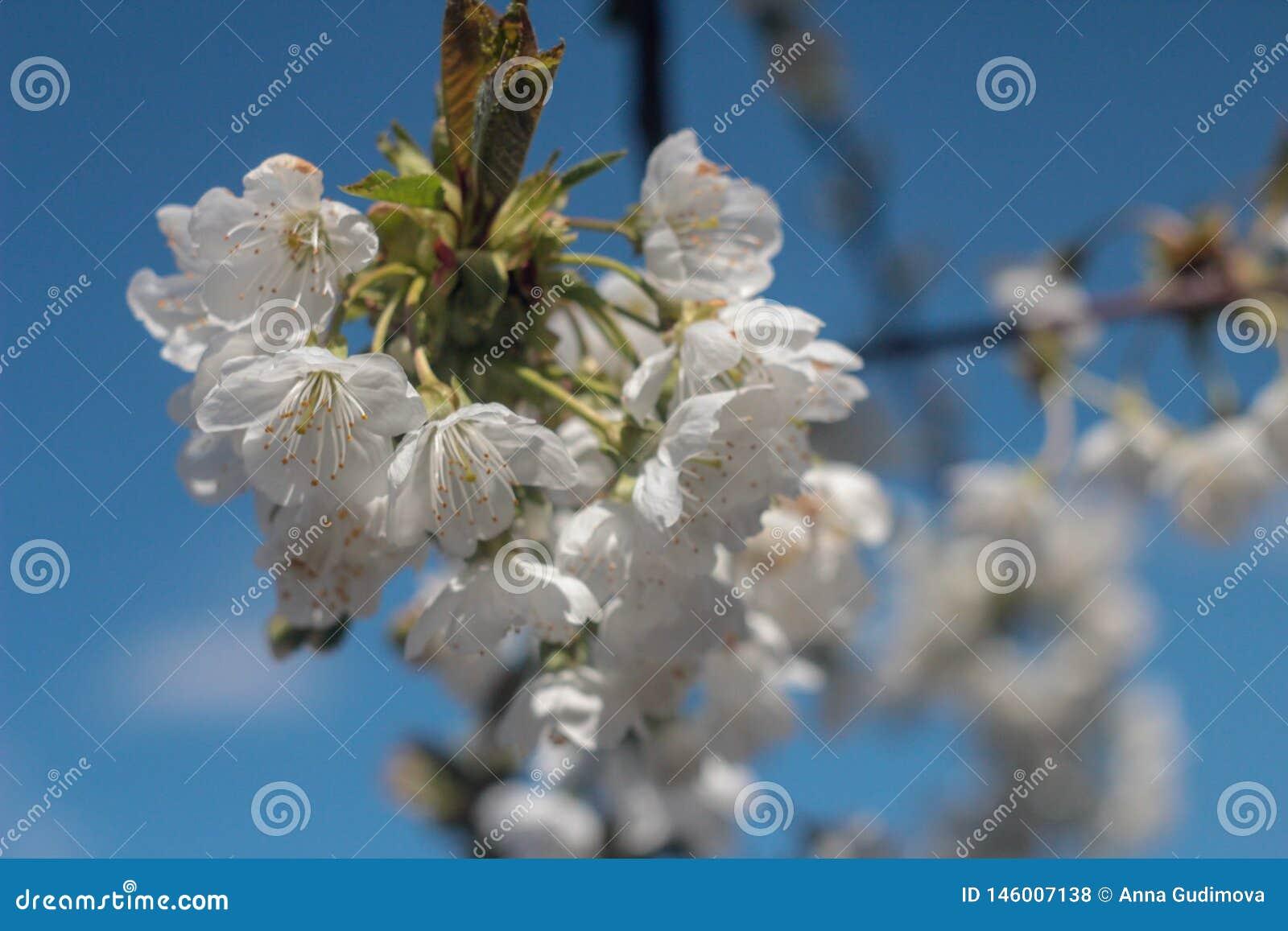 Foto van bloeiende kersenboom
