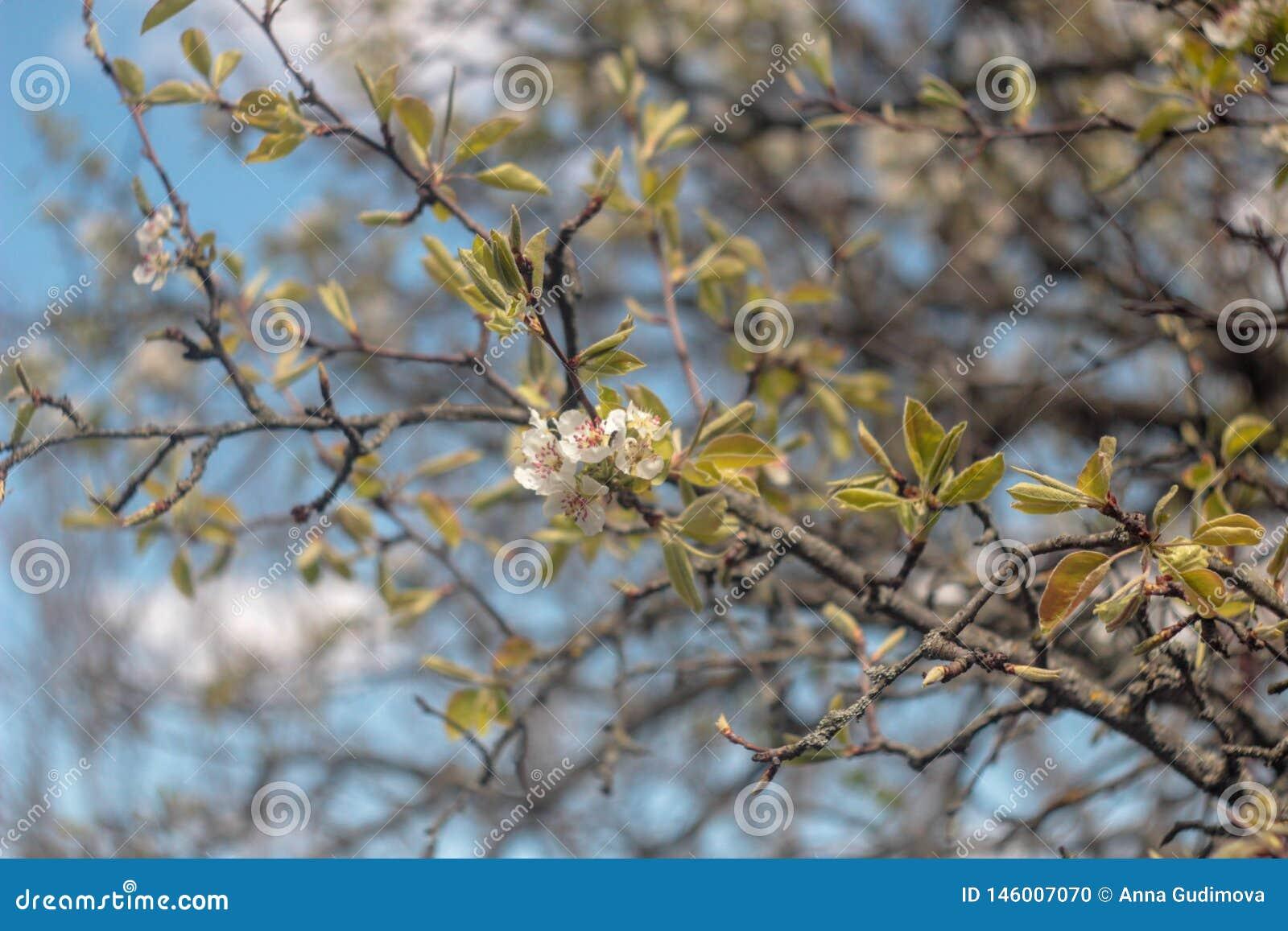 Foto van bloeiende perenboom